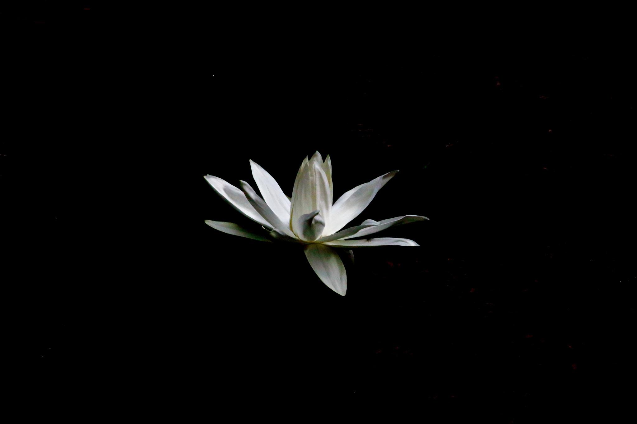 Lotus by pulkit.satwara