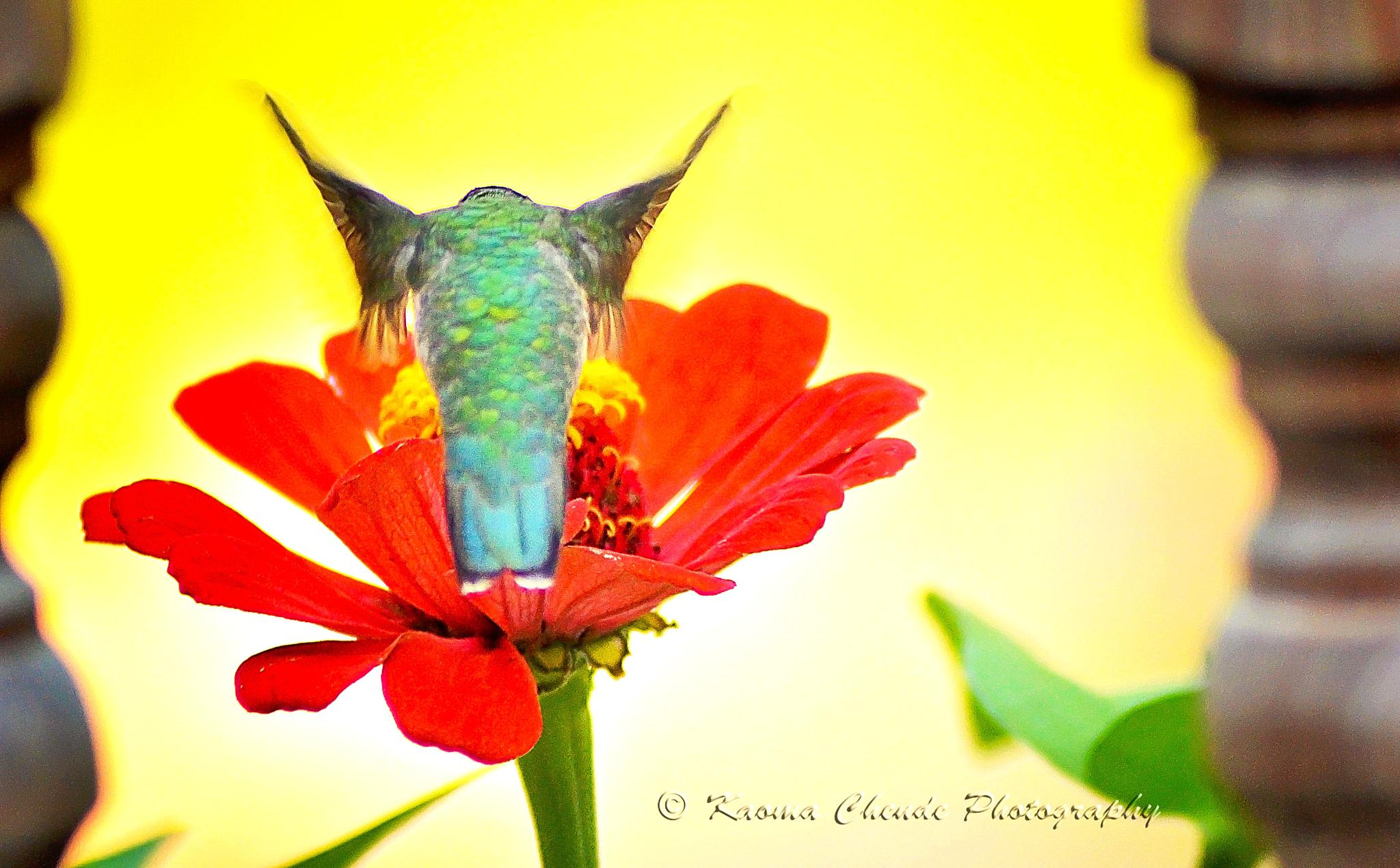 Humming Bird by kchende