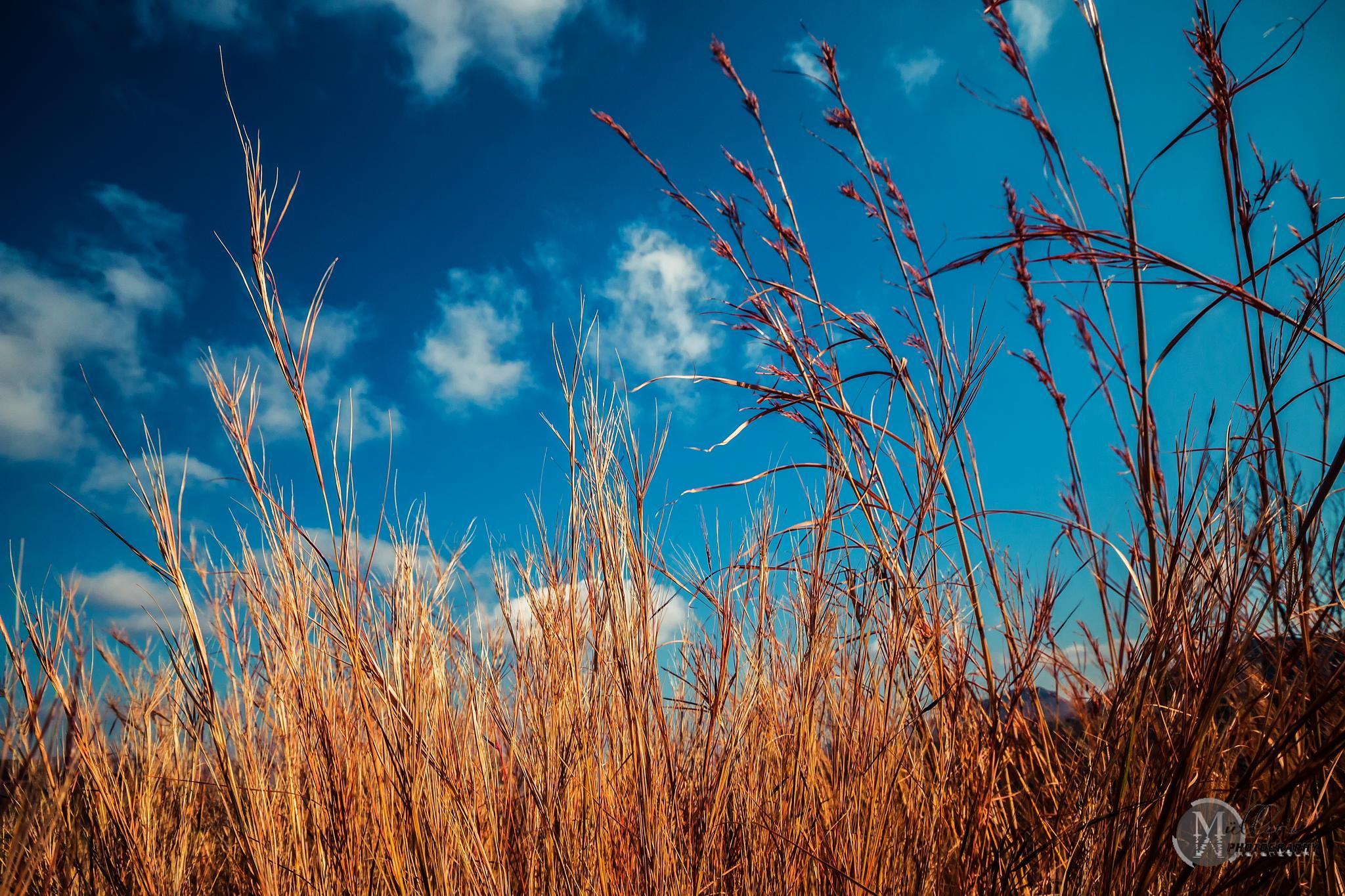 winter grass by Carl Muller