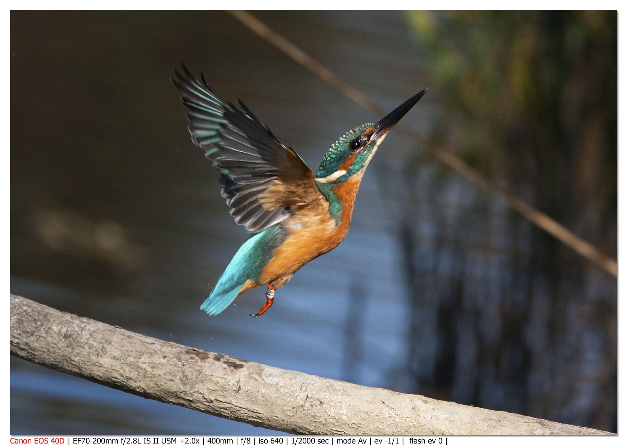 Kingfisher by Lorenzo Bova