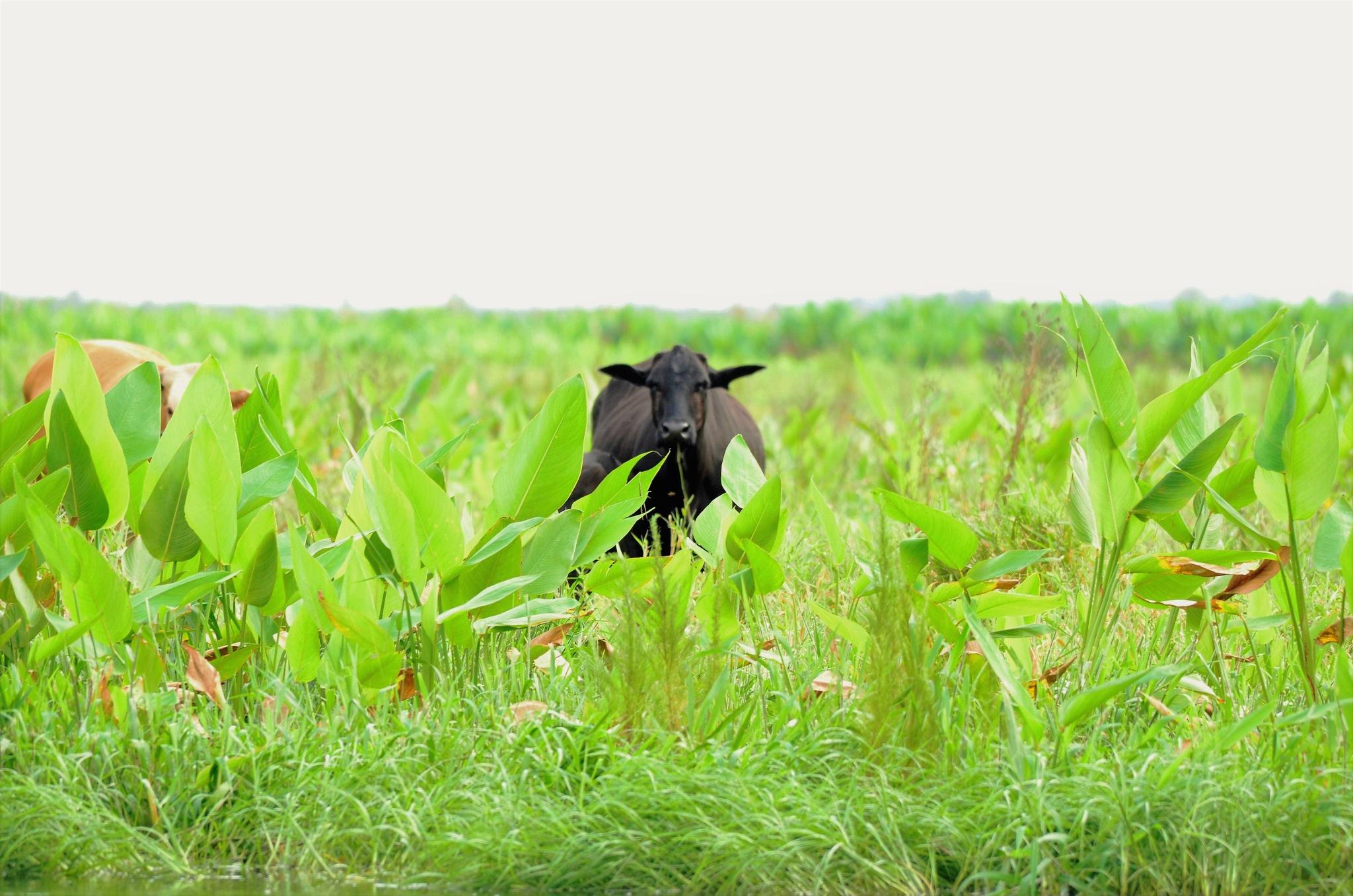 cow in green field by dabbleshots