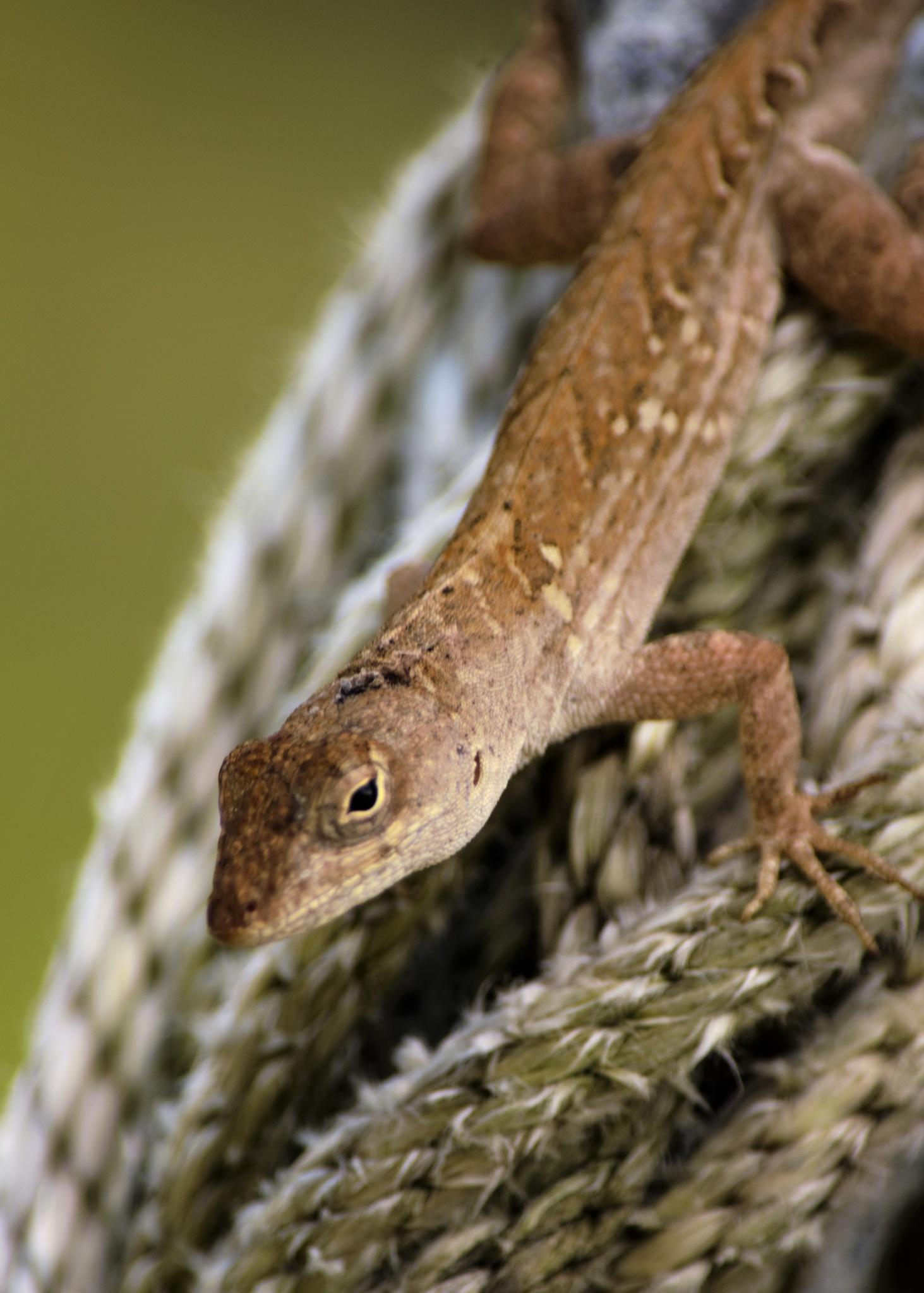 Lizard on rope by dabbleshots
