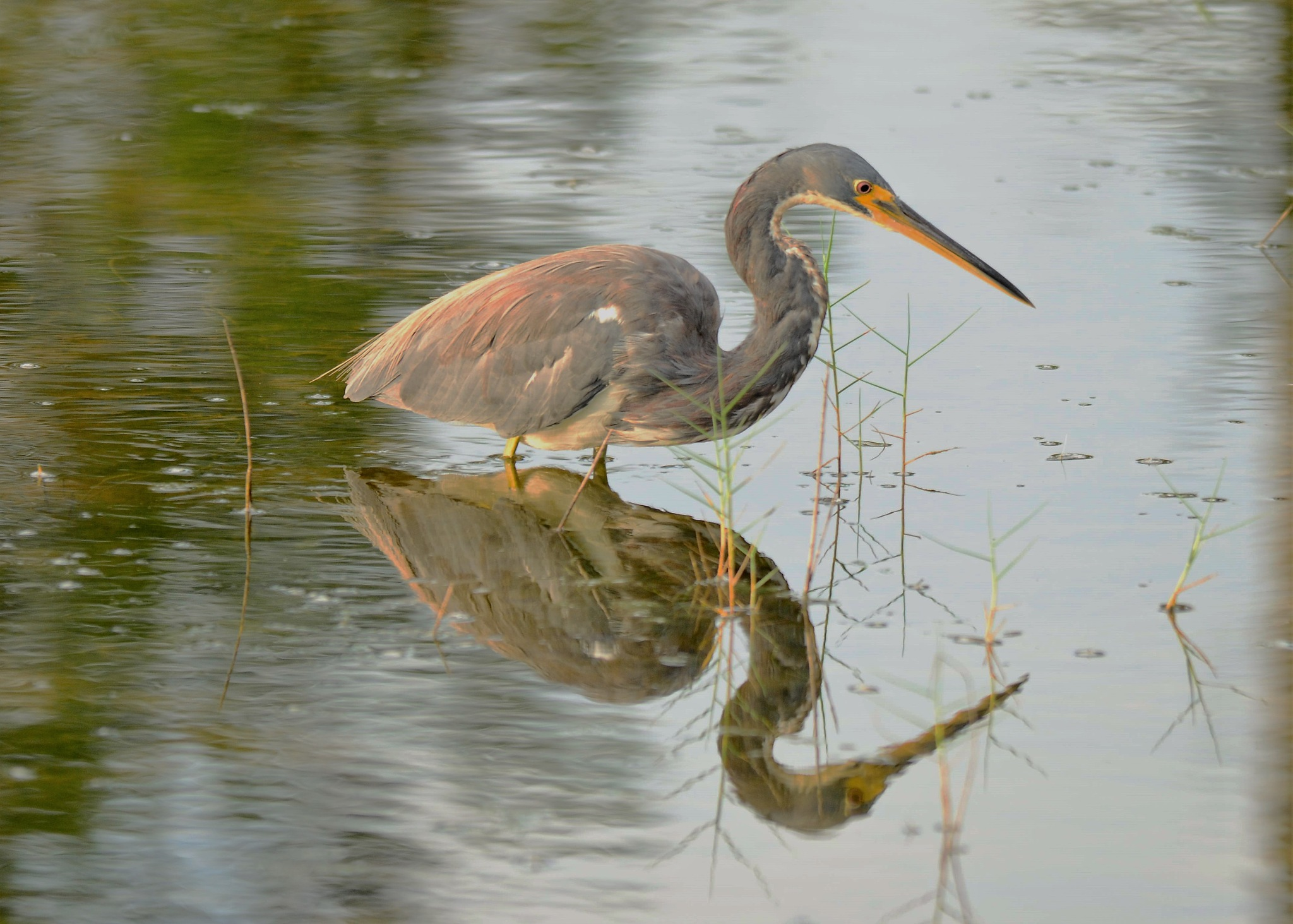 blue heron doubled by dabbleshots