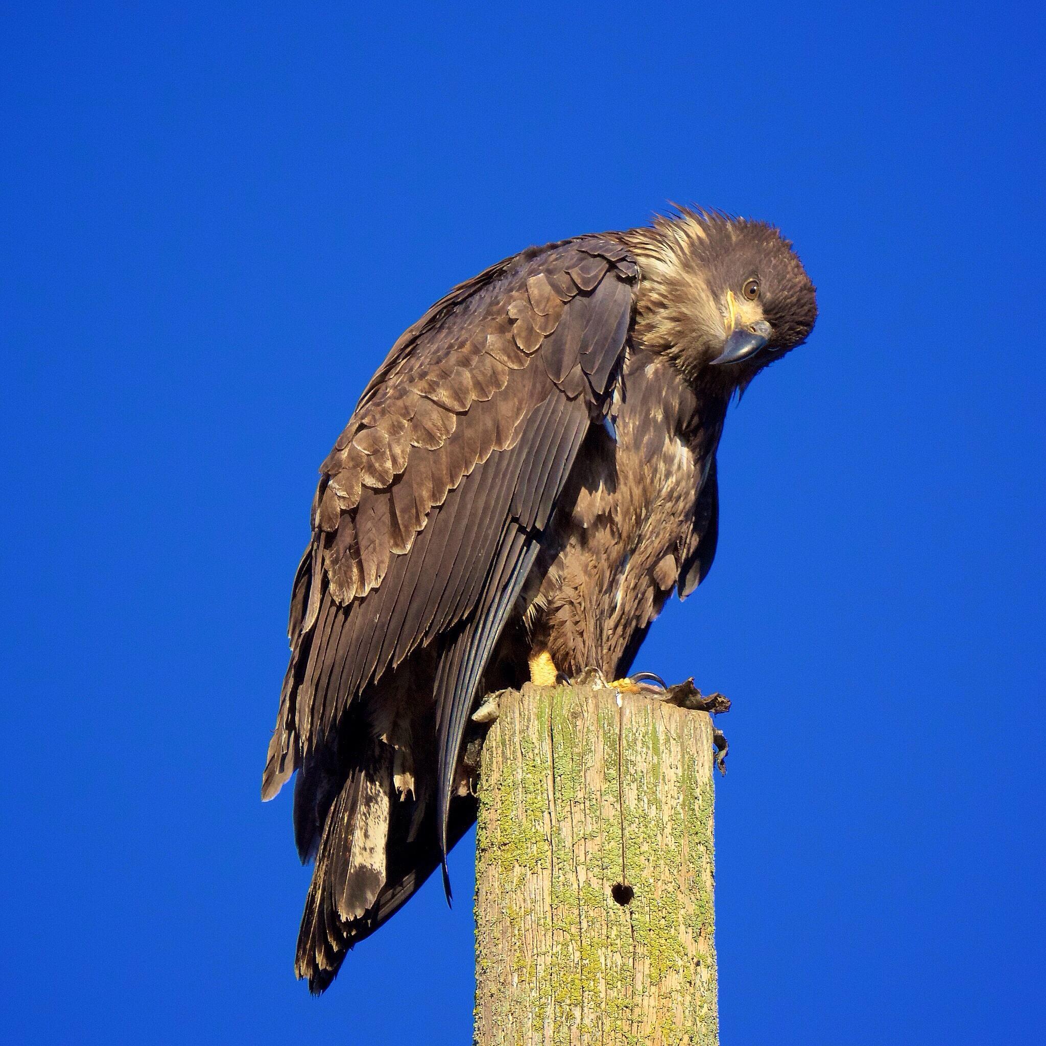 Juvenile Bald Eagle by Blingsister