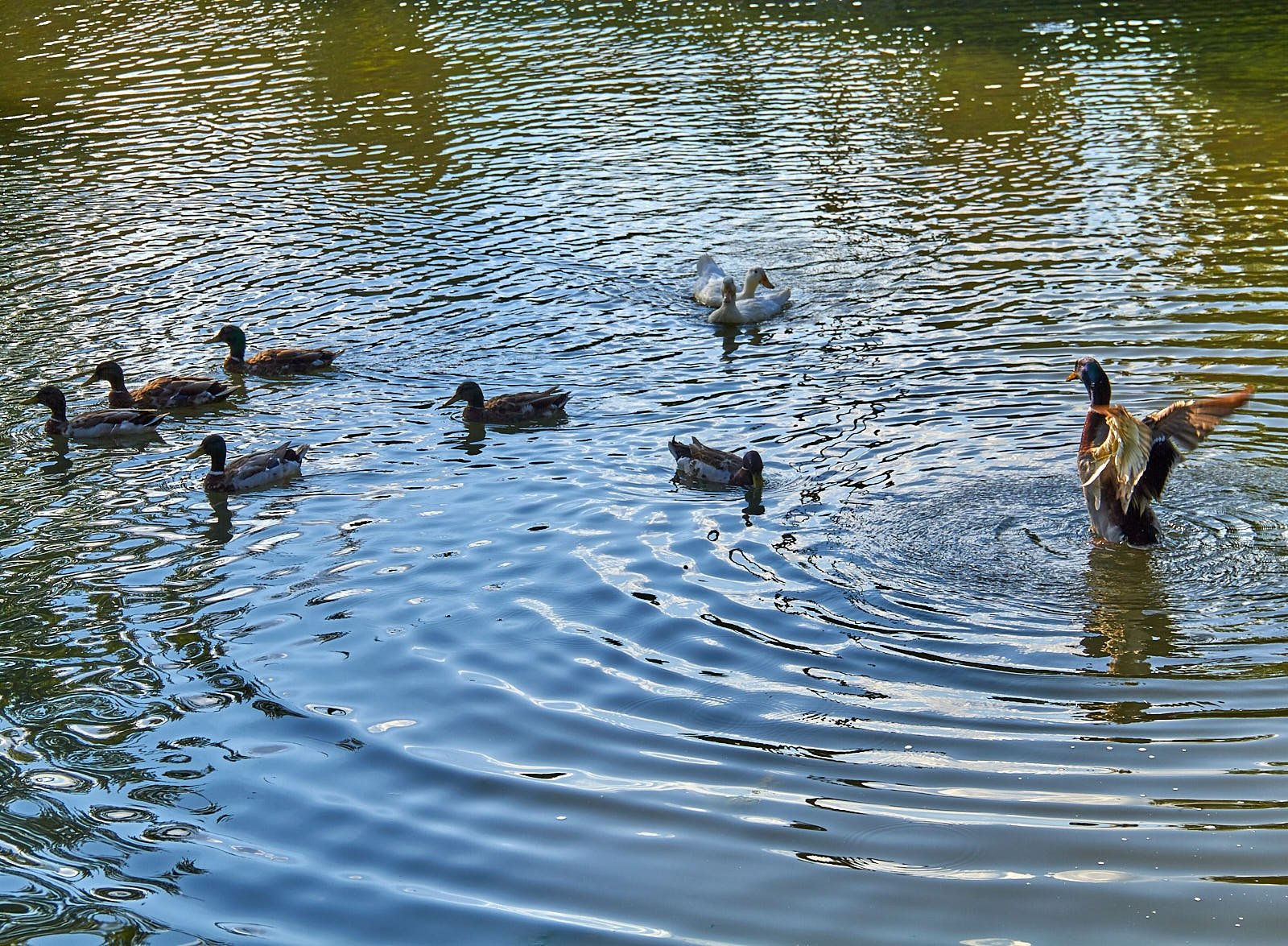 Ducks by Lynette M. Feliciano-Justice