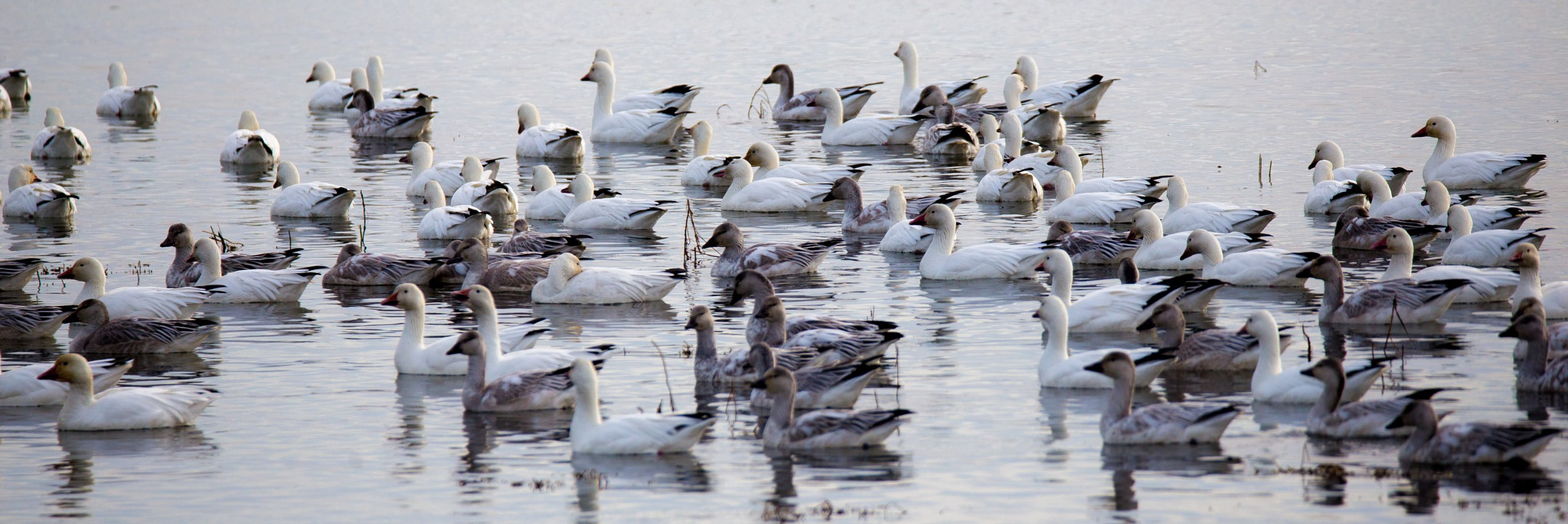 Snow Geese by Dex Horton Photography