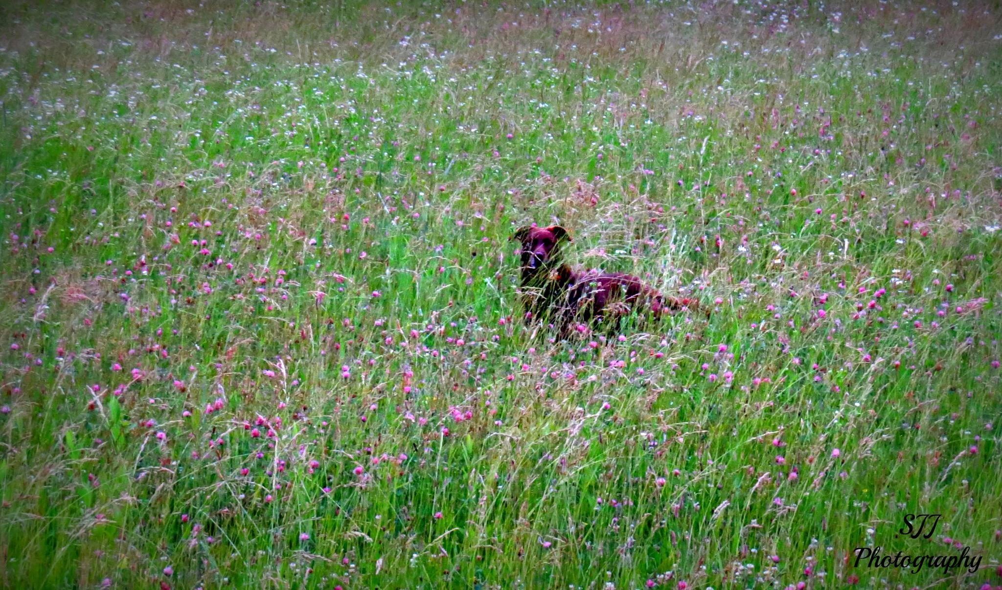 Lab in the Grass by sarahjones1624