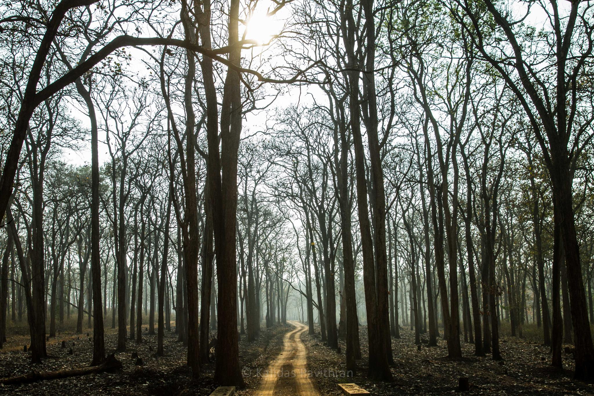 forest summer by Kalidas Pavithran
