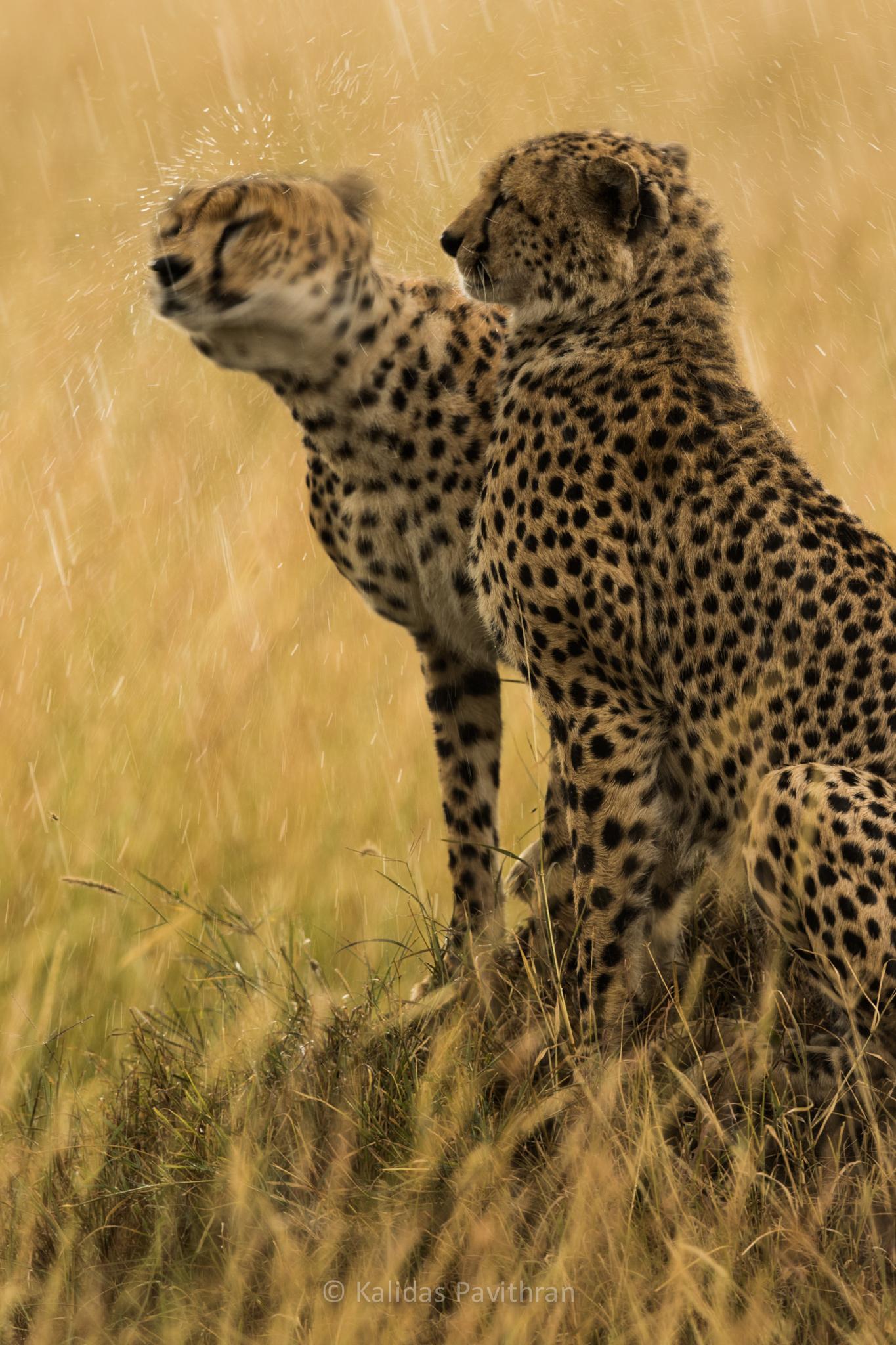 Cheetahs in Rain by Kalidas Pavithran