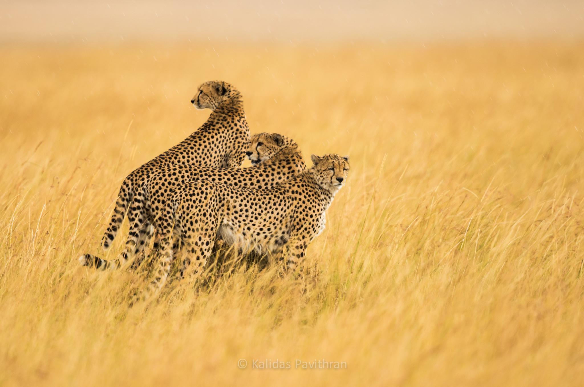 Cheetah Brothers from Masai Mara by Kalidas Pavithran