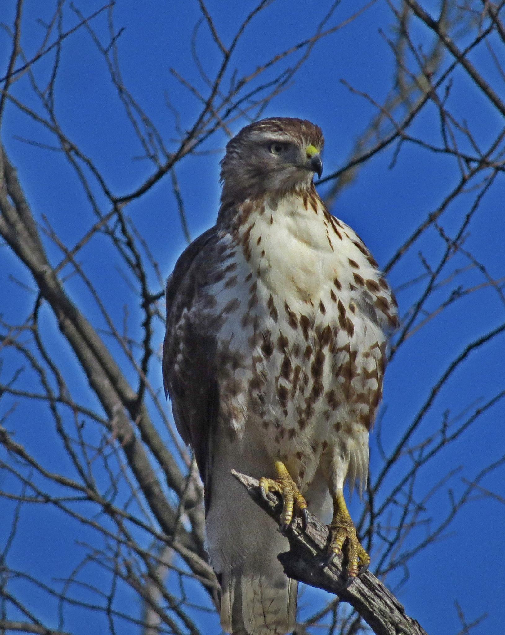 Red Tail Hawk by Wayne T. 'tom' Helfrich
