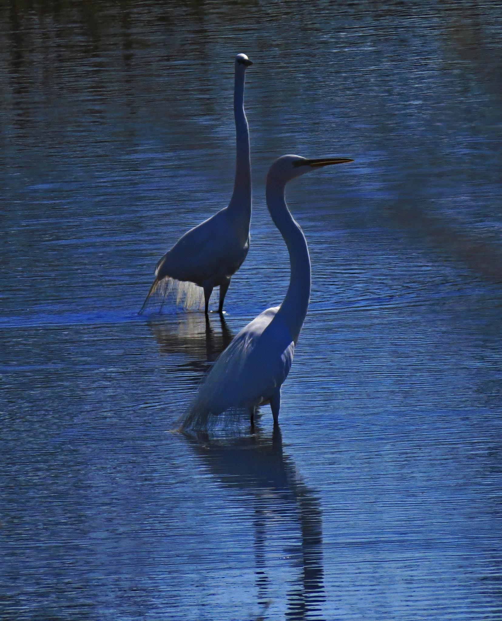 Great Egrets by Wayne T. 'tom' Helfrich