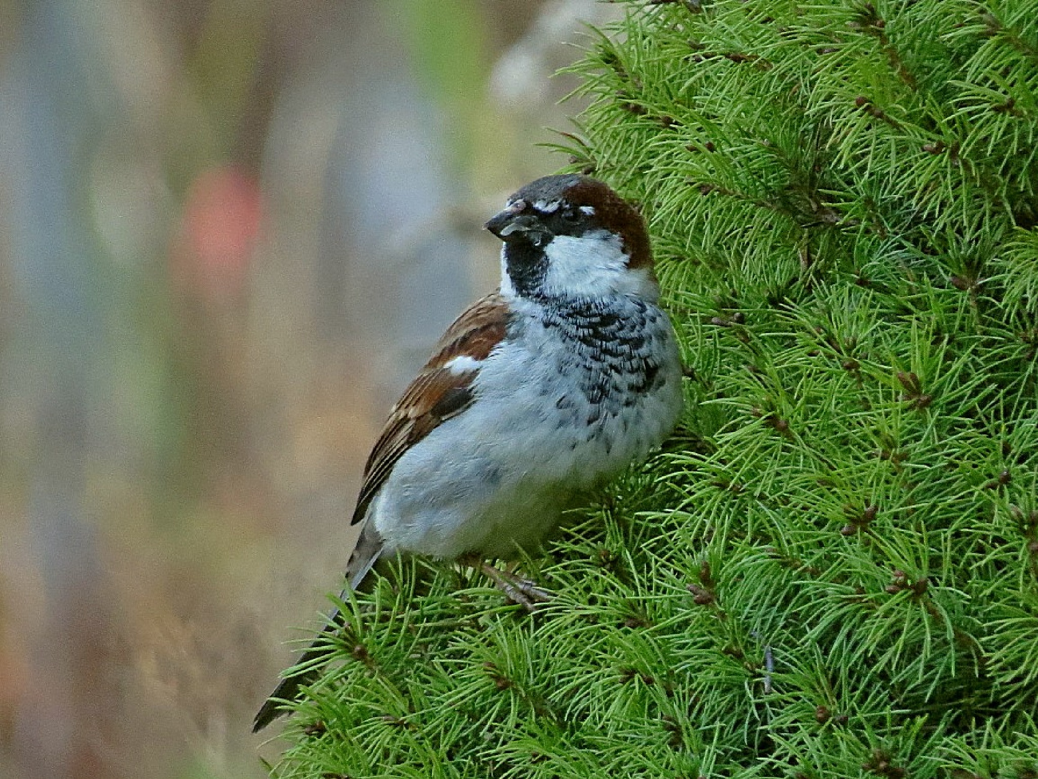 Sparrow in the Evergreen by Wayne T. 'tom' Helfrich