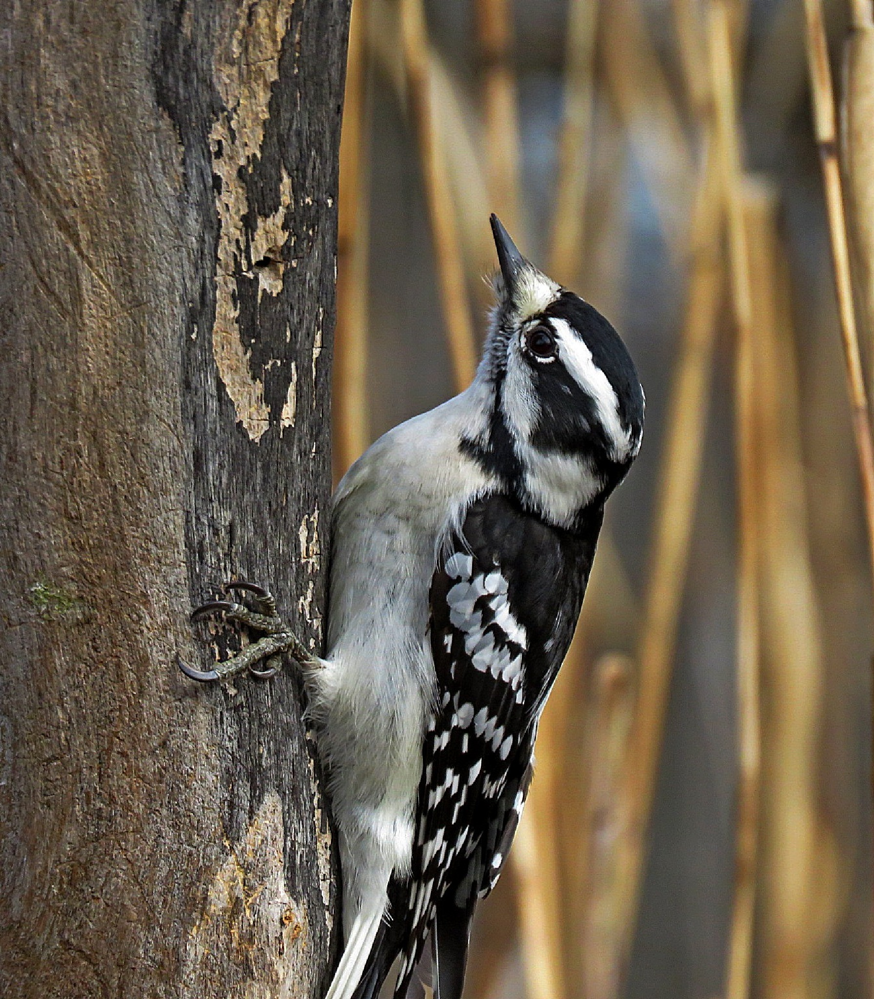 Downy Woodpecker by Wayne T. 'tom' Helfrich