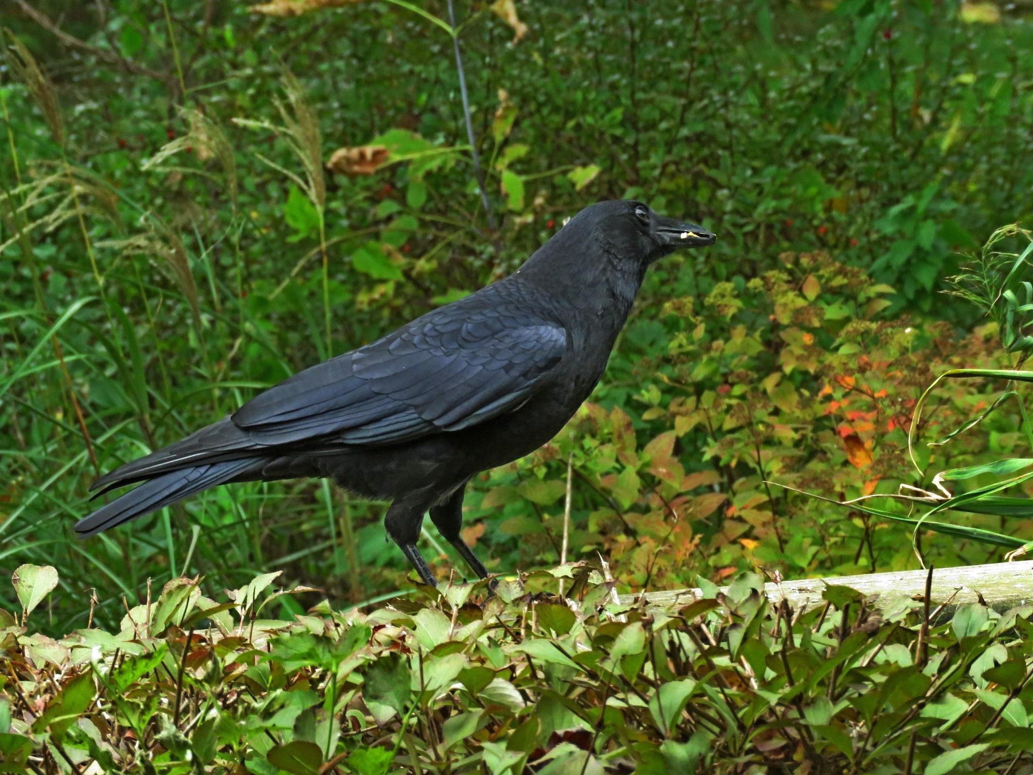 American Crow by Wayne T. 'tom' Helfrich