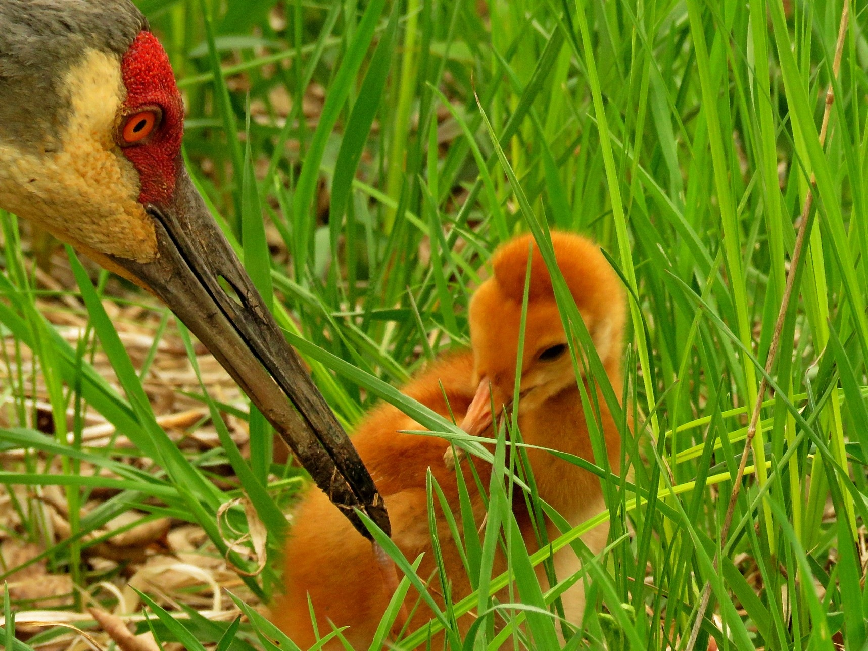 Adult Sandhill Crane with worm for baby! by Wayne T. 'tom' Helfrich