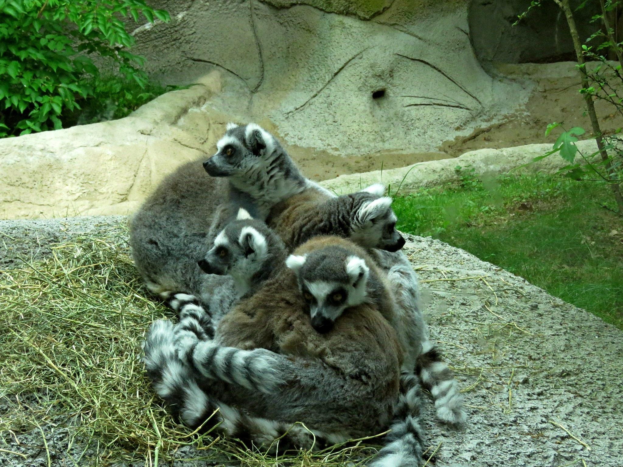 Ringtailed Lemurs, Detroit Zoological Park by Wayne T. 'tom' Helfrich