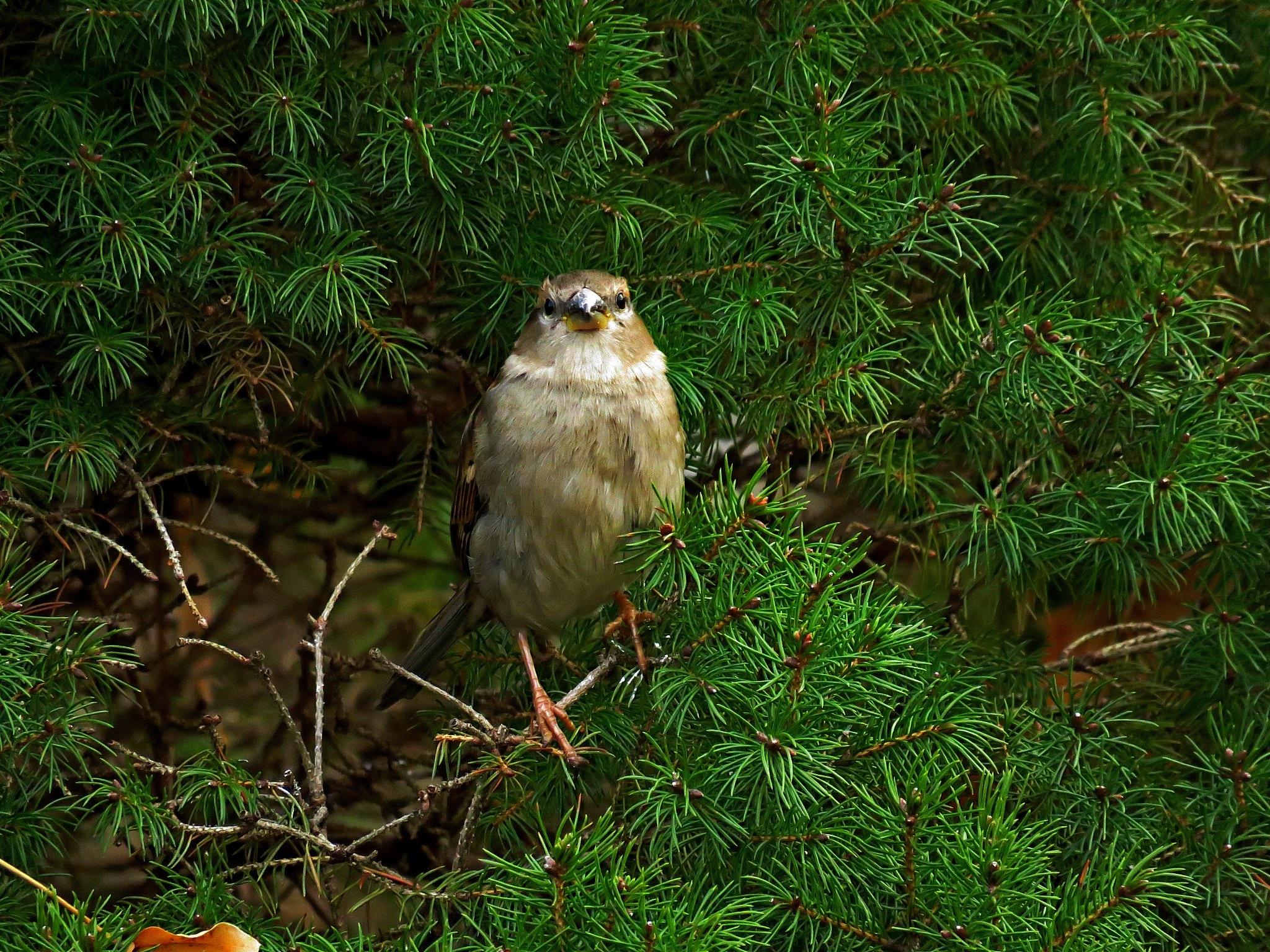 Sparrow by Wayne T. 'tom' Helfrich