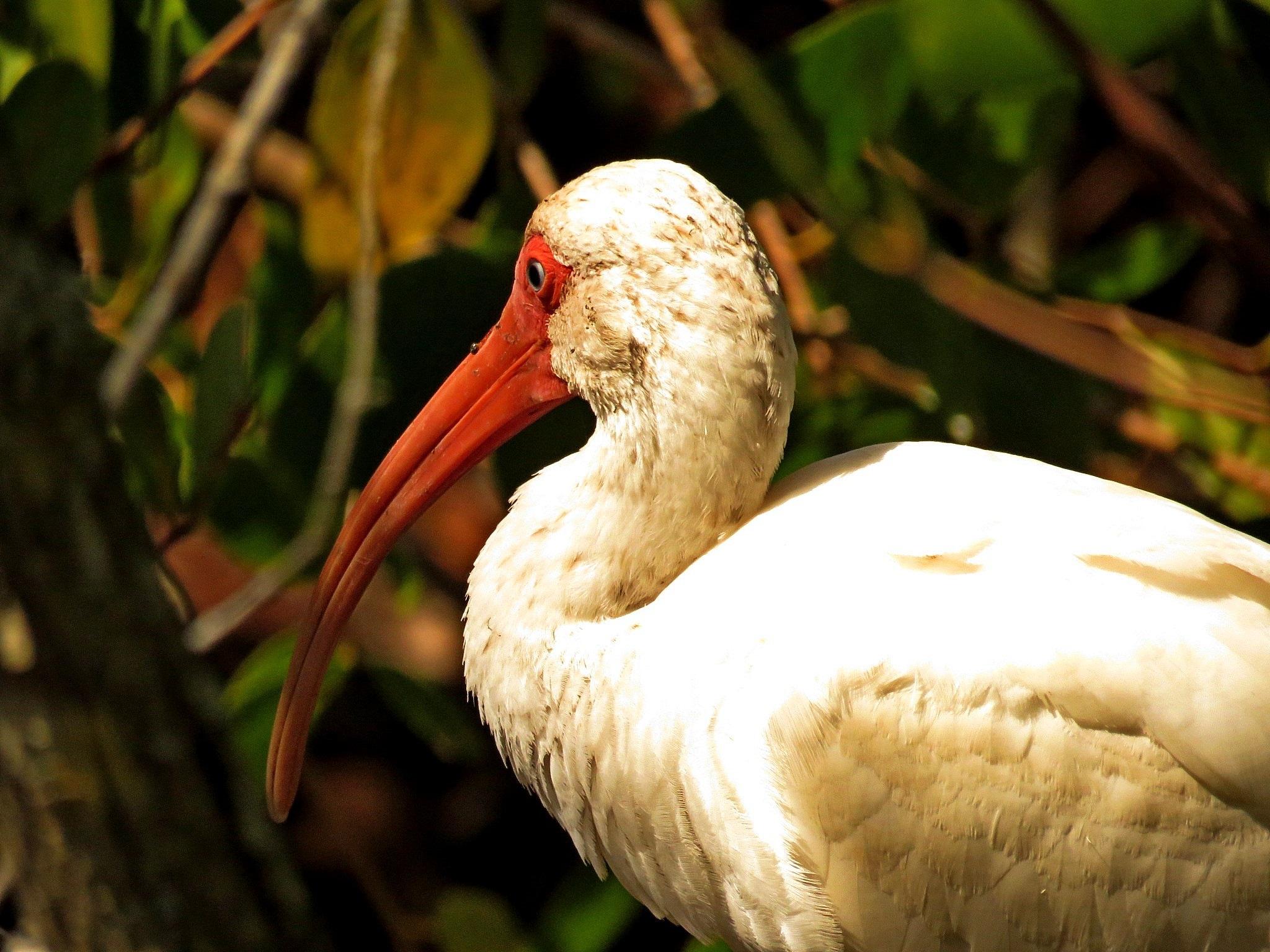 White Ibis by Wayne T. 'tom' Helfrich