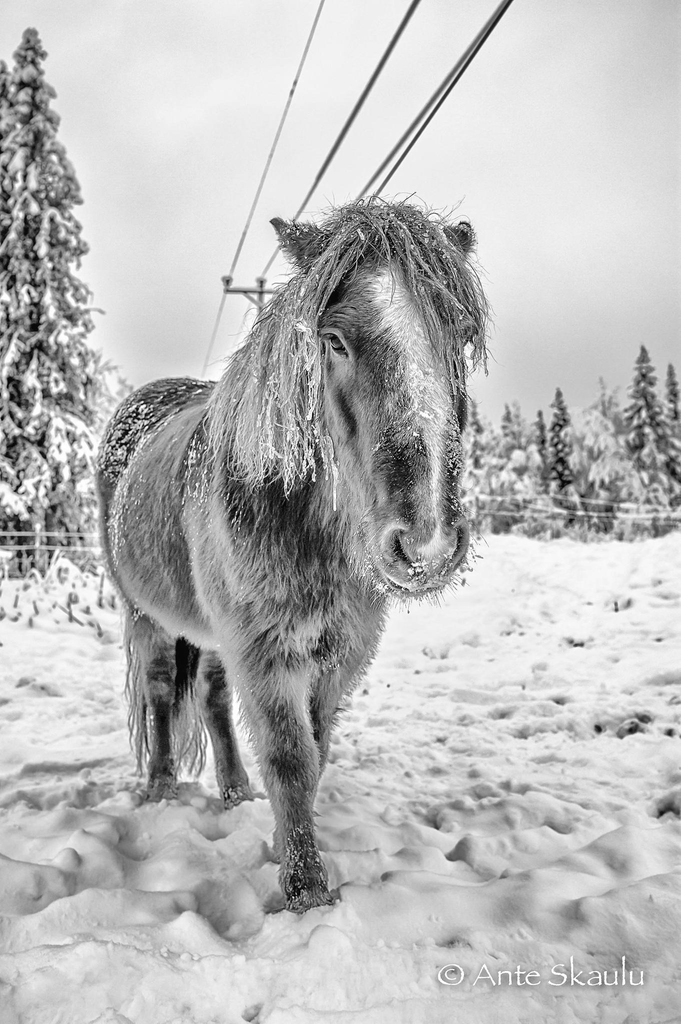 Dofri the icelander by Ante Skaulu @skaulu_photo