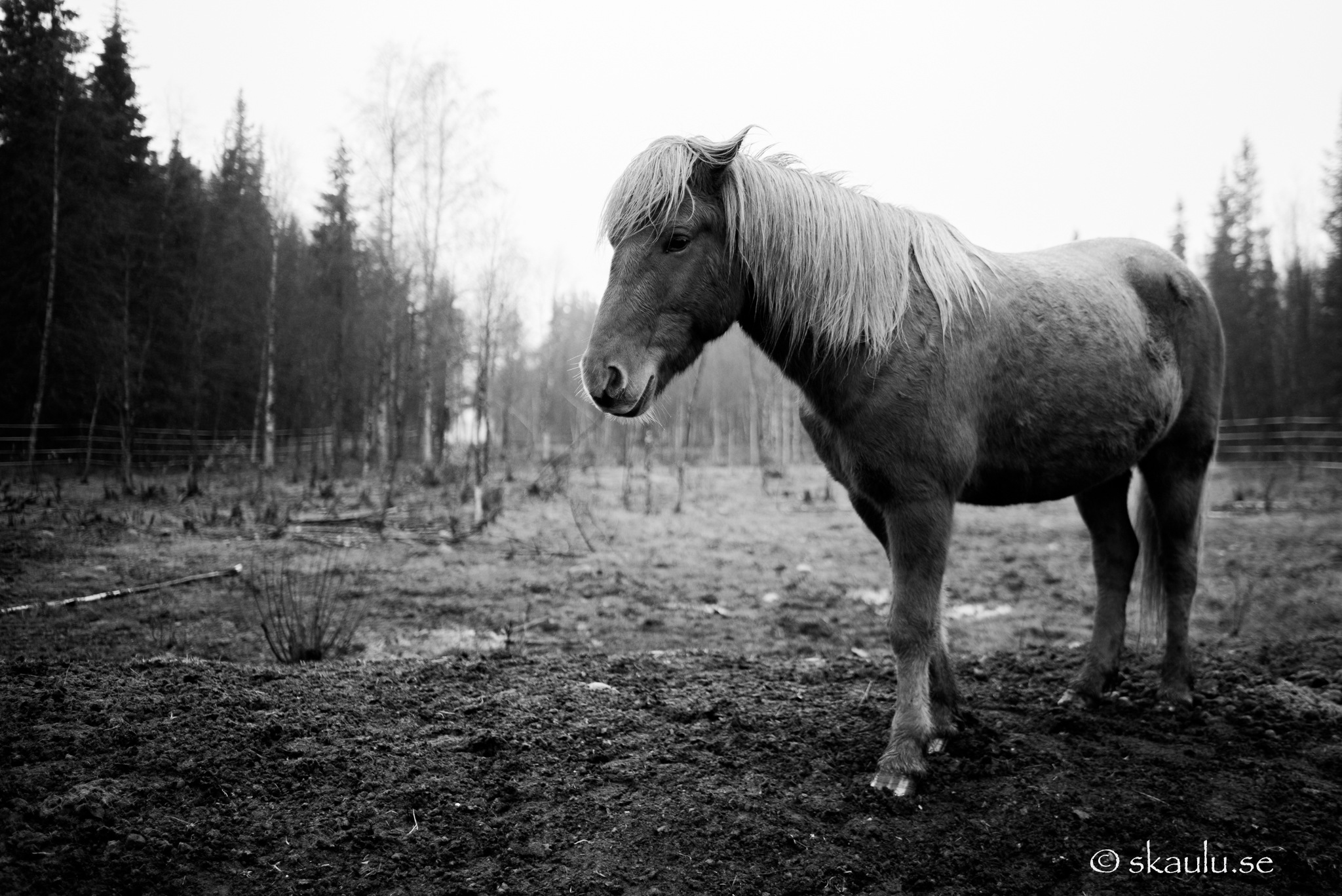 Icelandic horse by Ante Skaulu @skaulu_photo