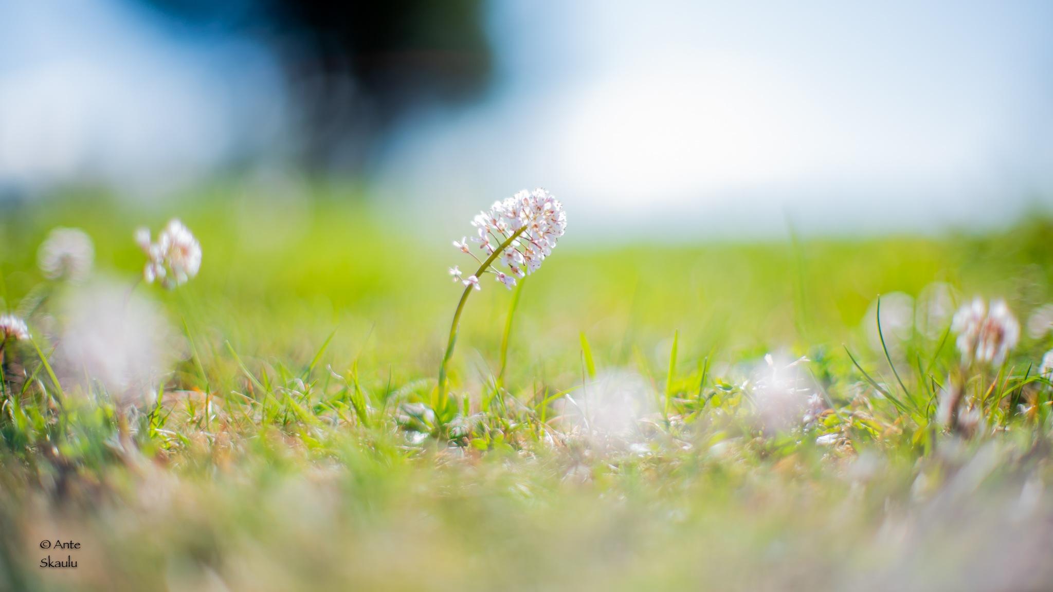 flower by Ante Skaulu @photo_catched_by_a.skaulu
