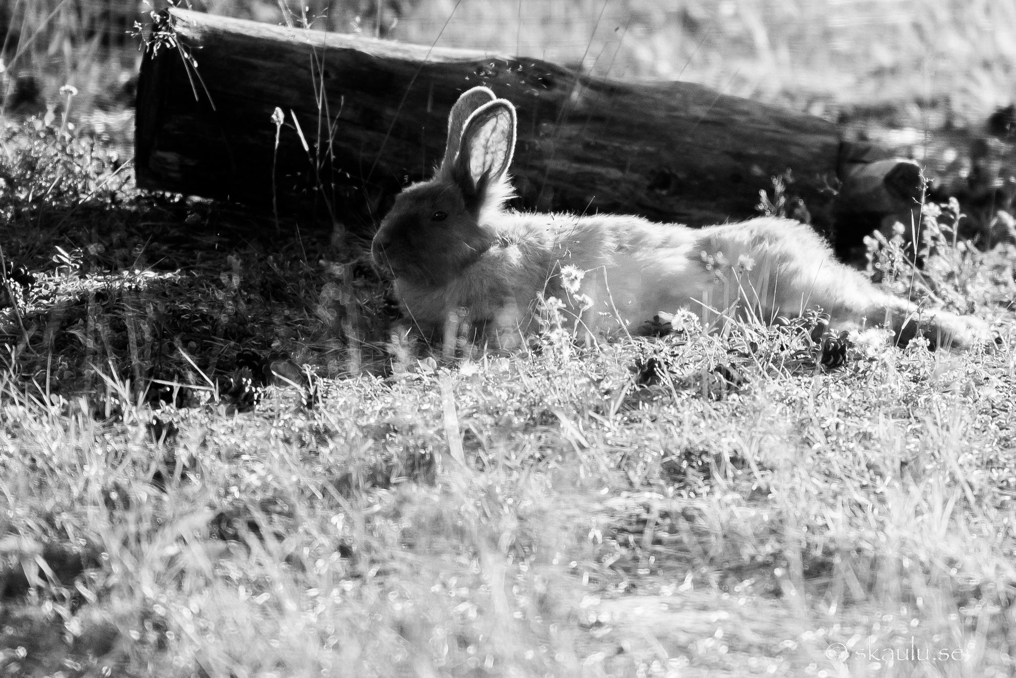 Rabbit, just relaxing by Ante Skaulu @skaulu_photo