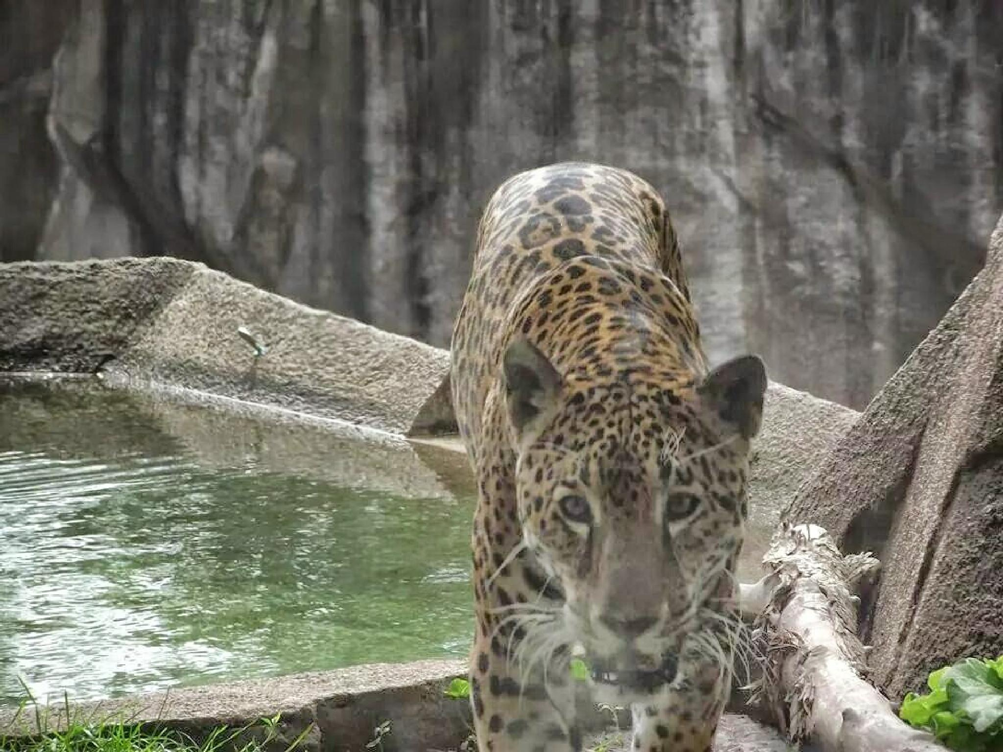 jaguar by ed.shawley