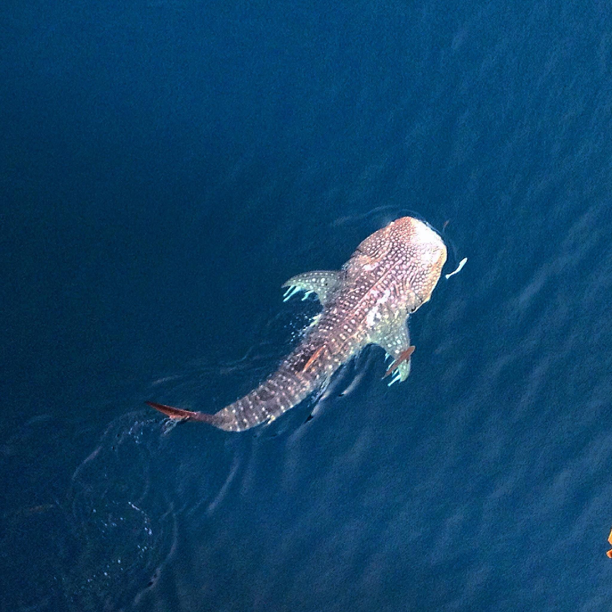 Whale shark with baby by wyler.devotta