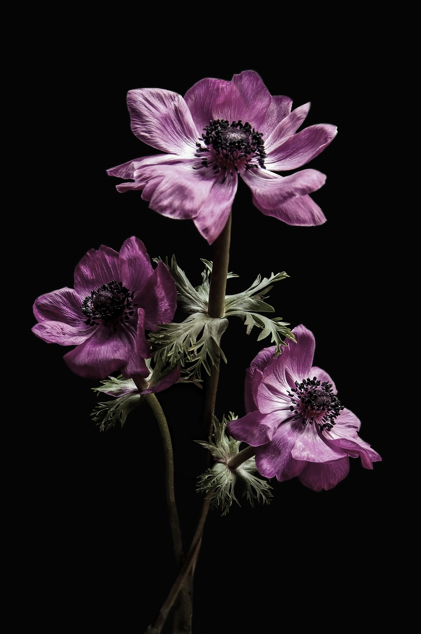 Pink Anemone by Rab Stout