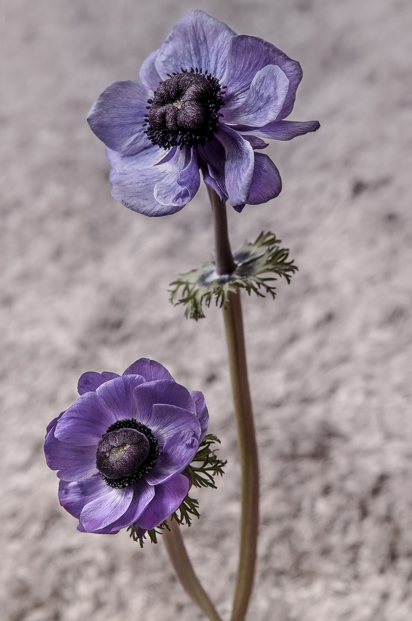 Photo in Nature #flower #anemone