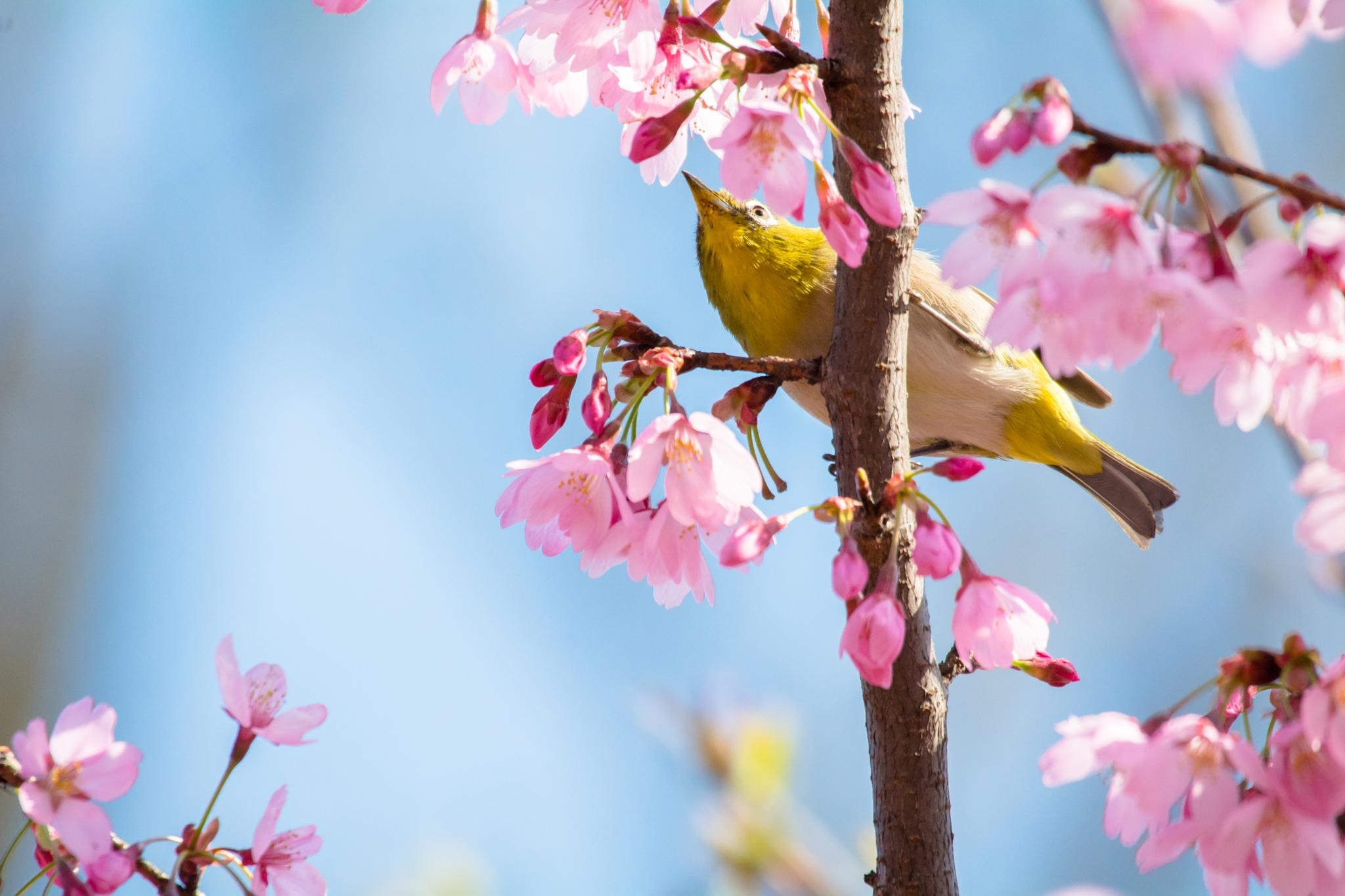 Loves the Cherry blossoms by Takafumi Ooshio