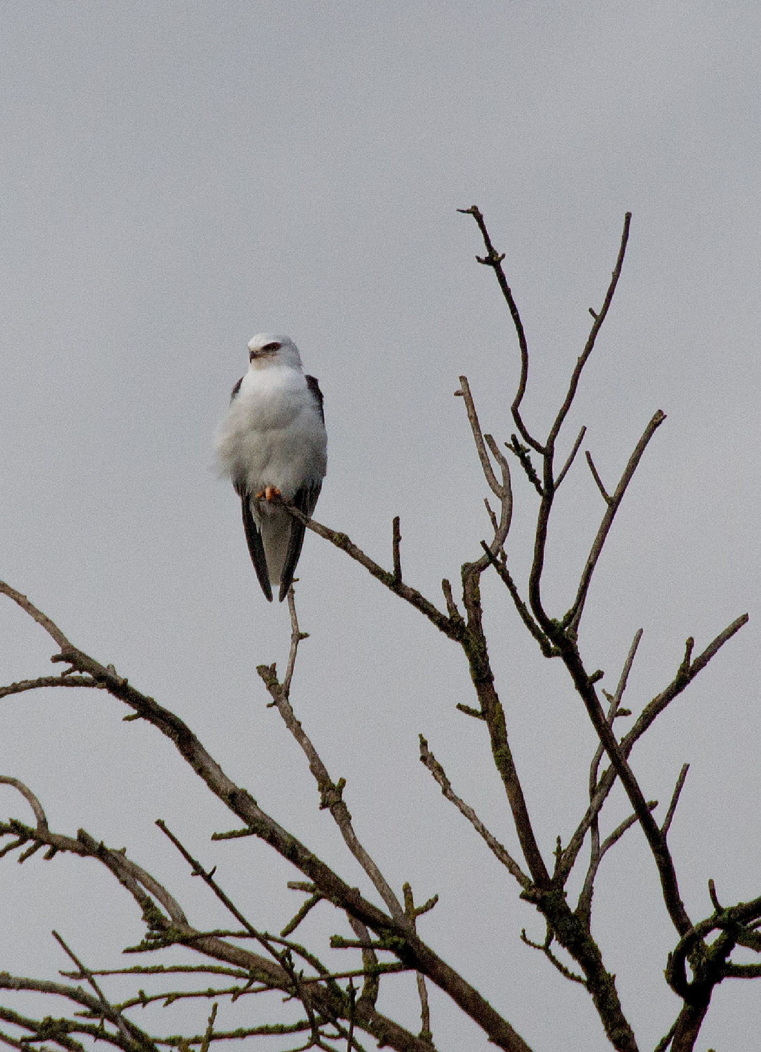 White tailed kite by tammy.arruda