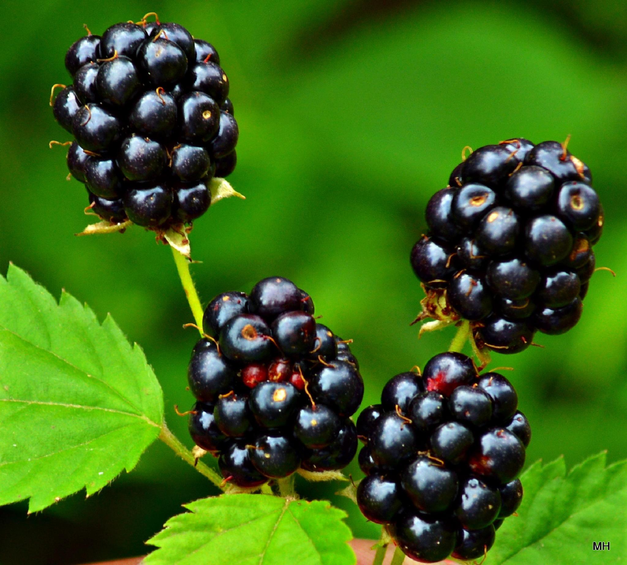 blackberrys by MH