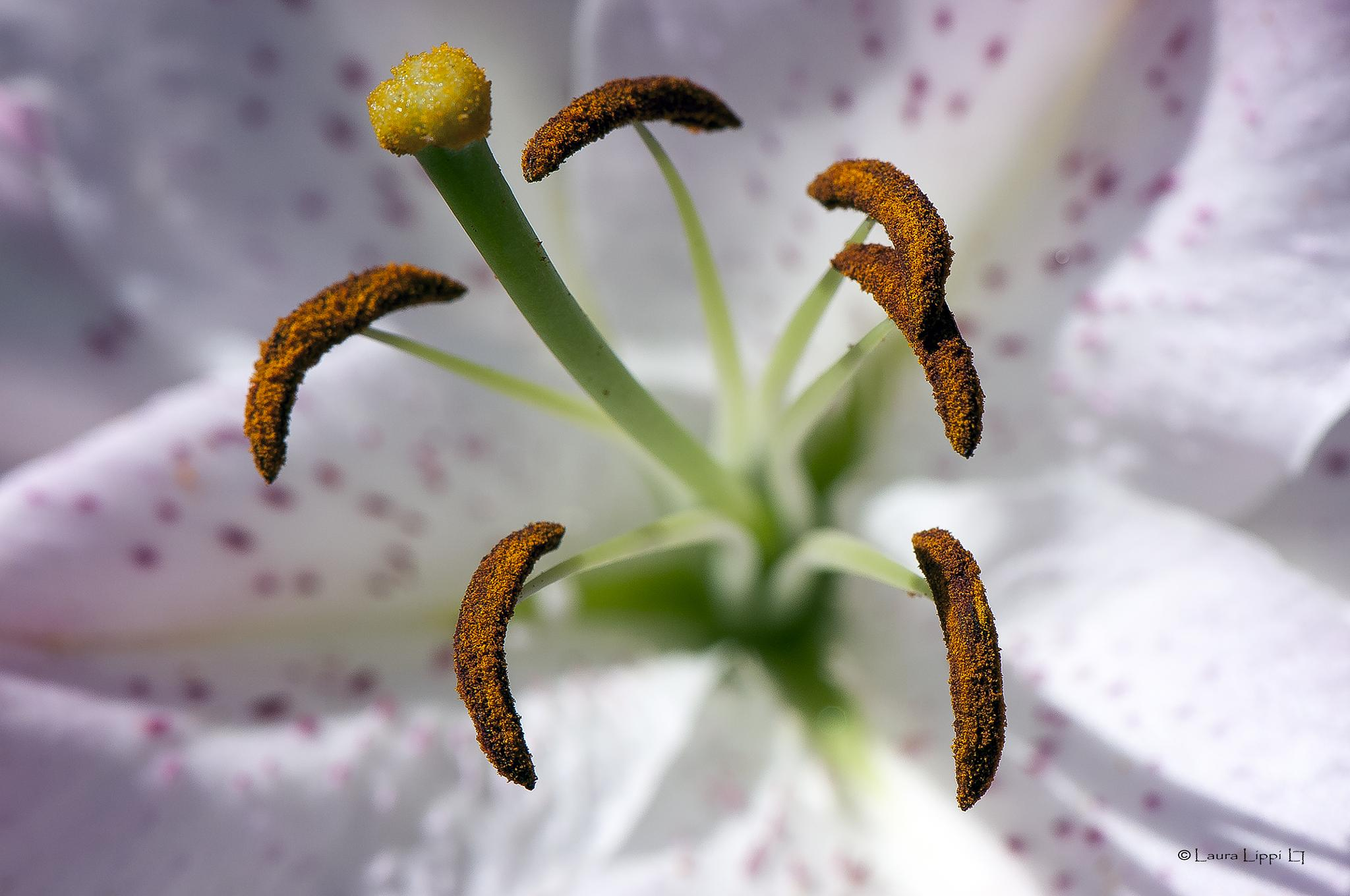Pollen by LauraLippi