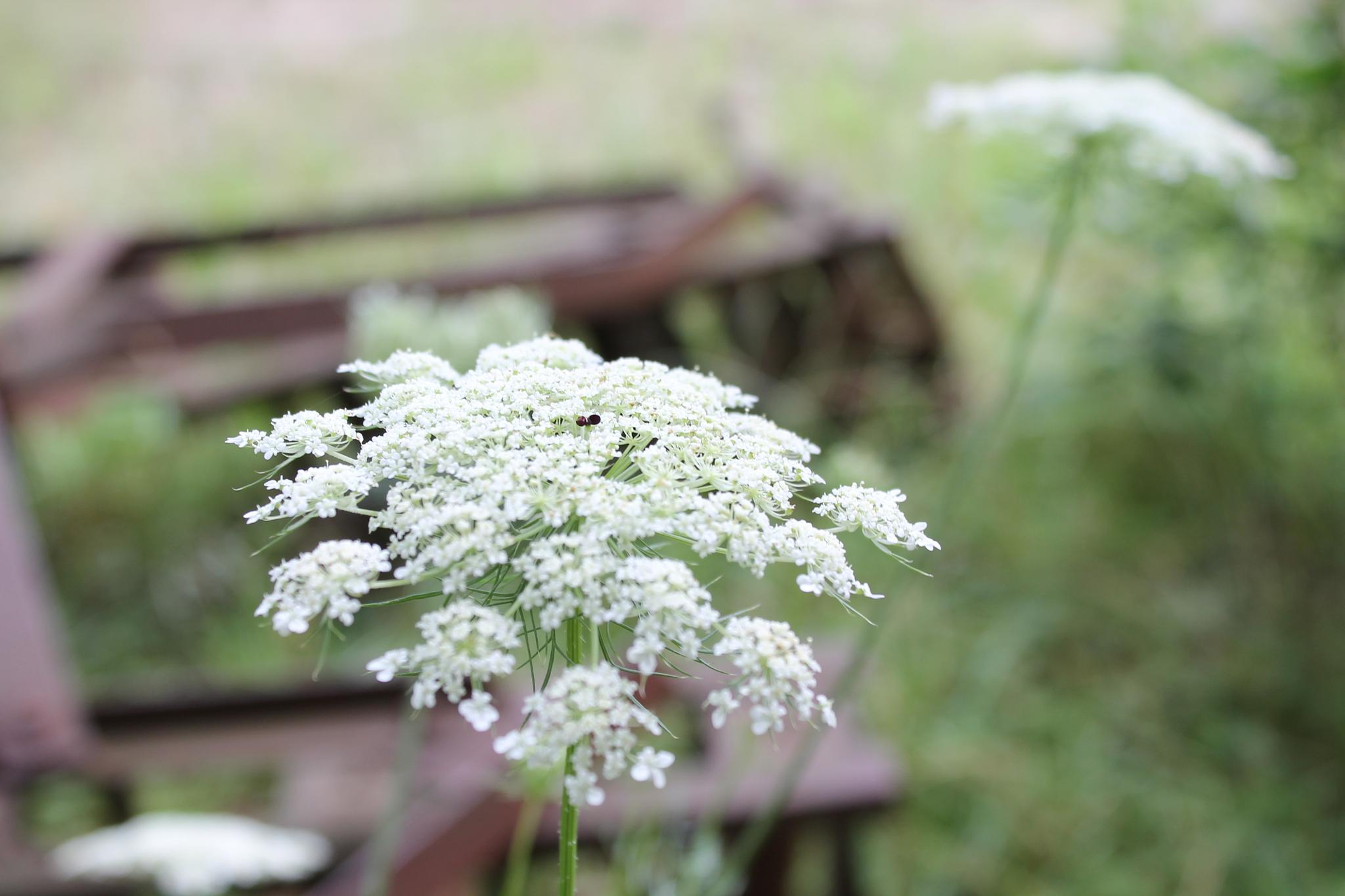 Queen Anne's Lace and Farm equipment by JoJoK
