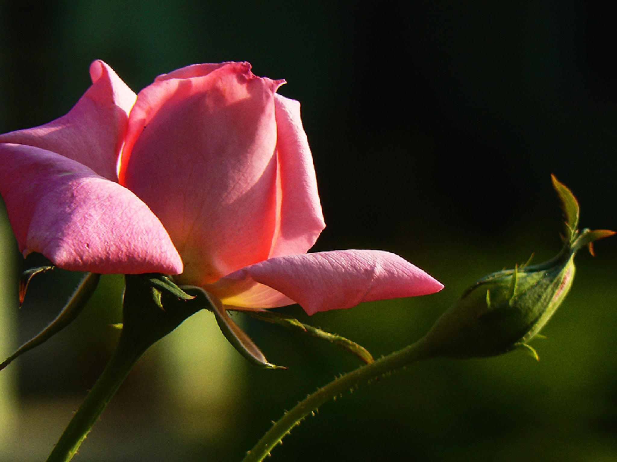 Rose by jackselyn