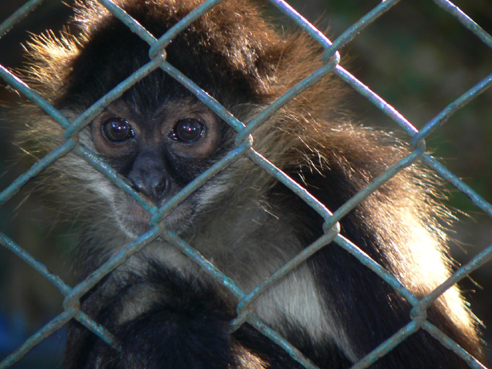 Monkey in a cage by jackselyn