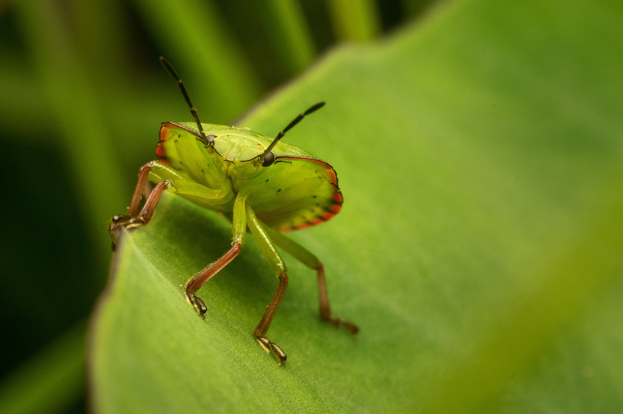Green Shield bug Nymph by Mika Andrianoelison