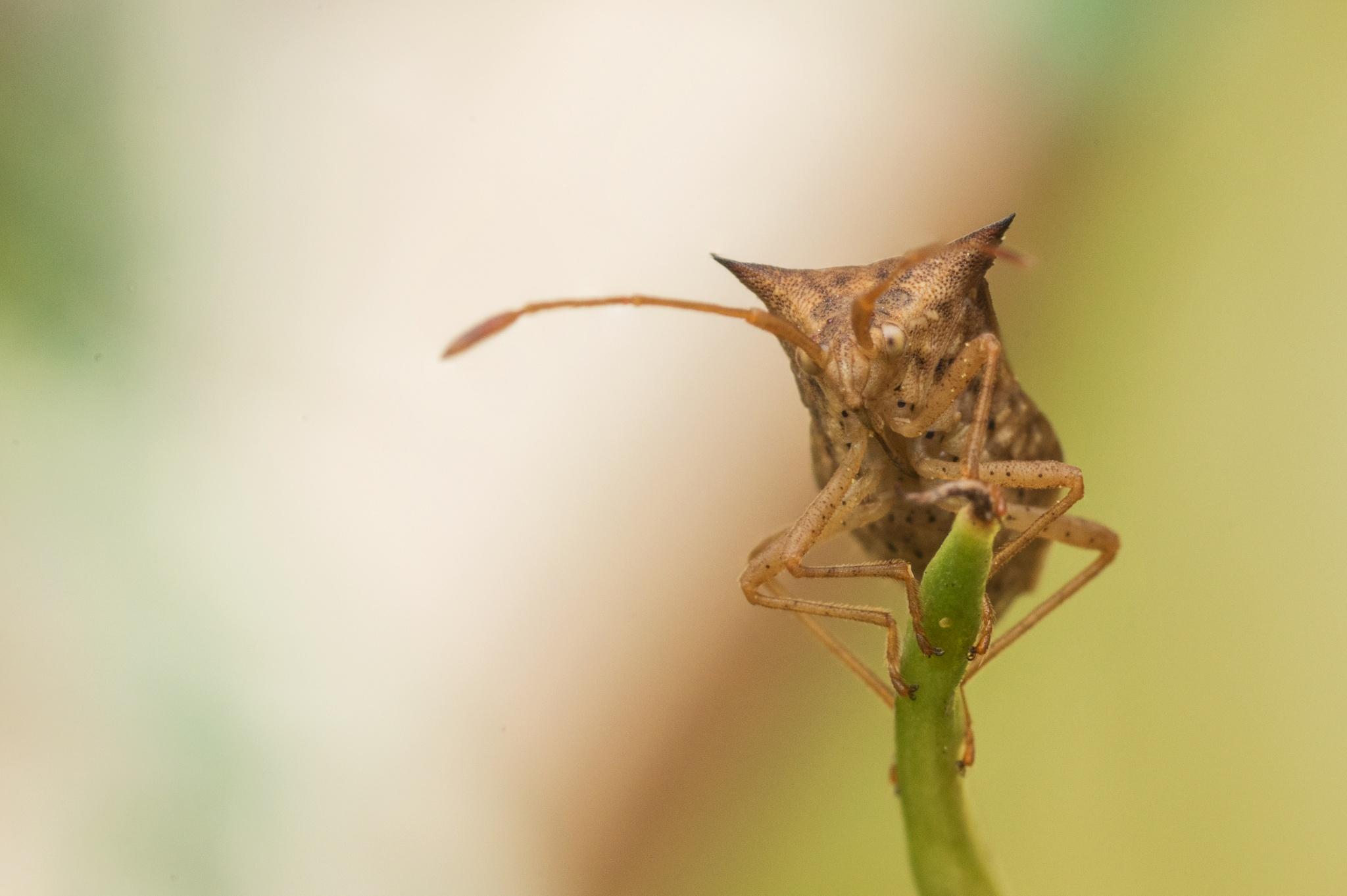 Sentinel Stink Bug by Mika Andrianoelison