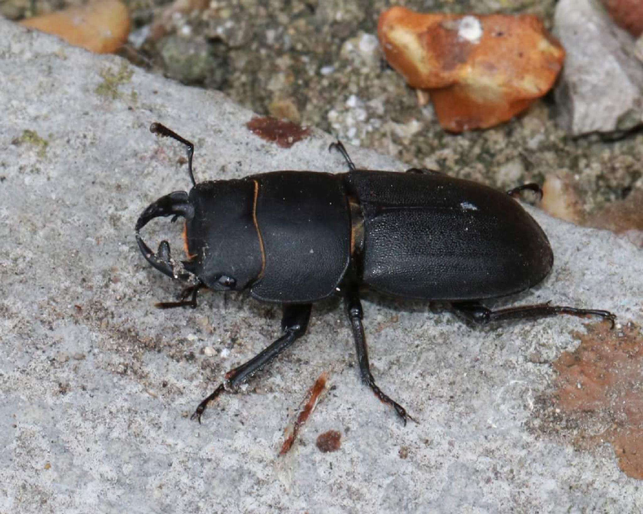 Female Stag Beetle by Nicholas Rawsthorne