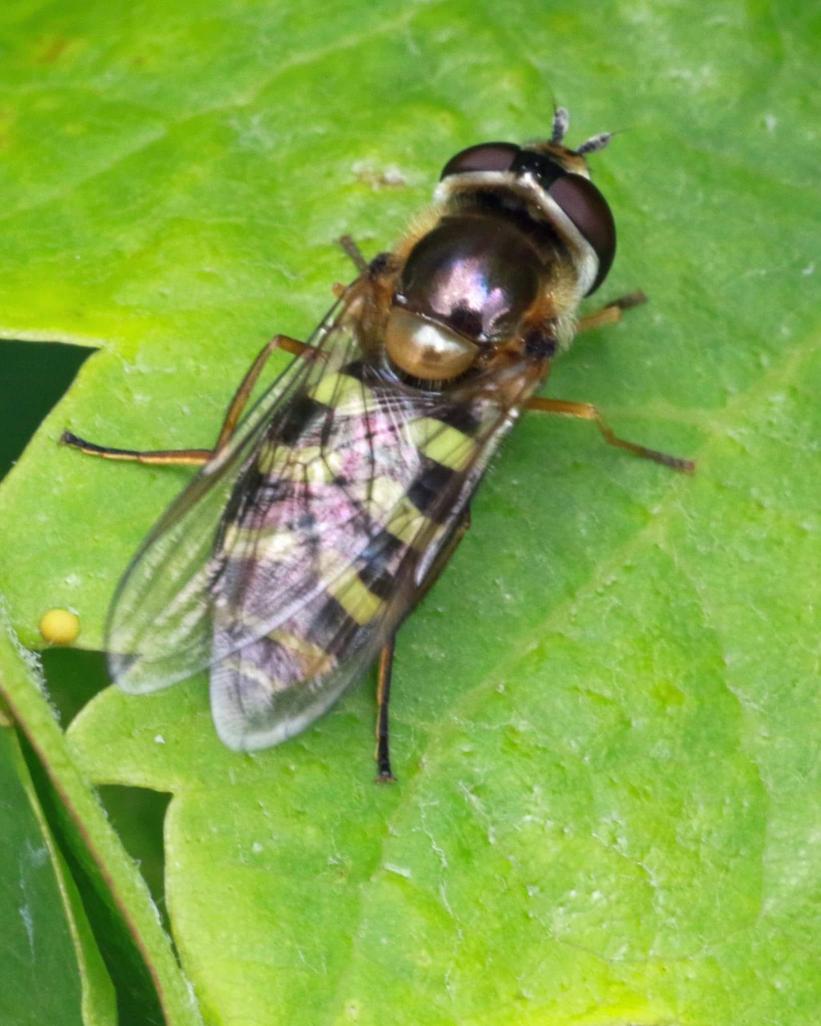 hover fly on grape vine leaf by Nicholas Rawsthorne