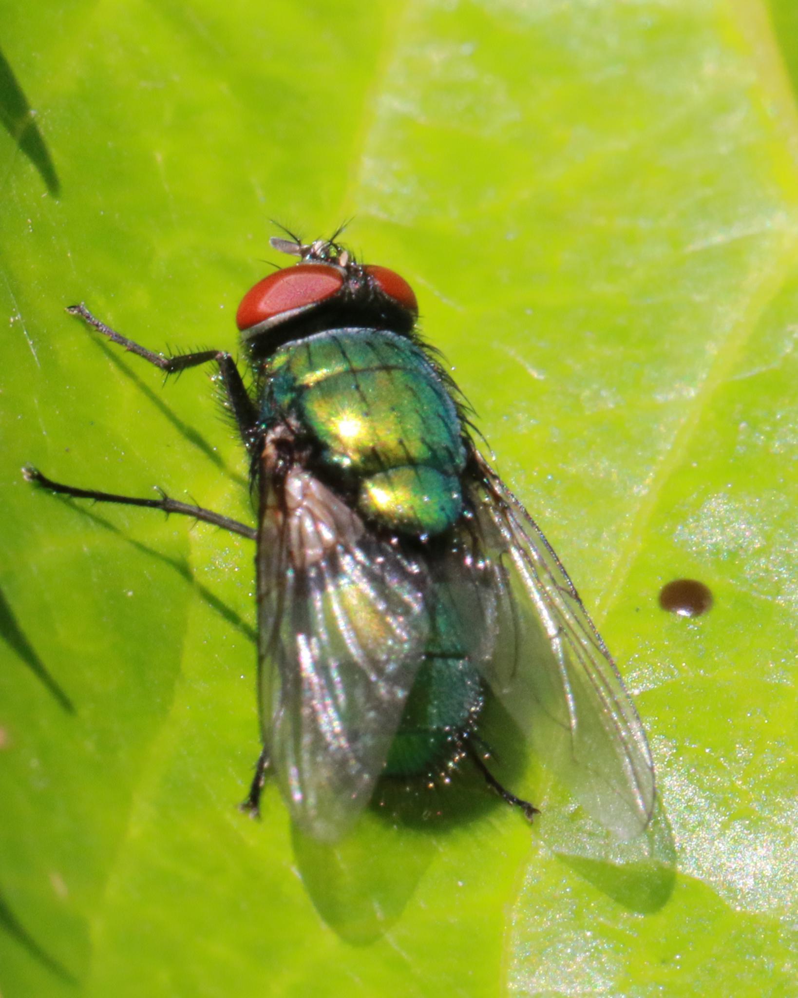 green bodied fly by Nicholas Rawsthorne