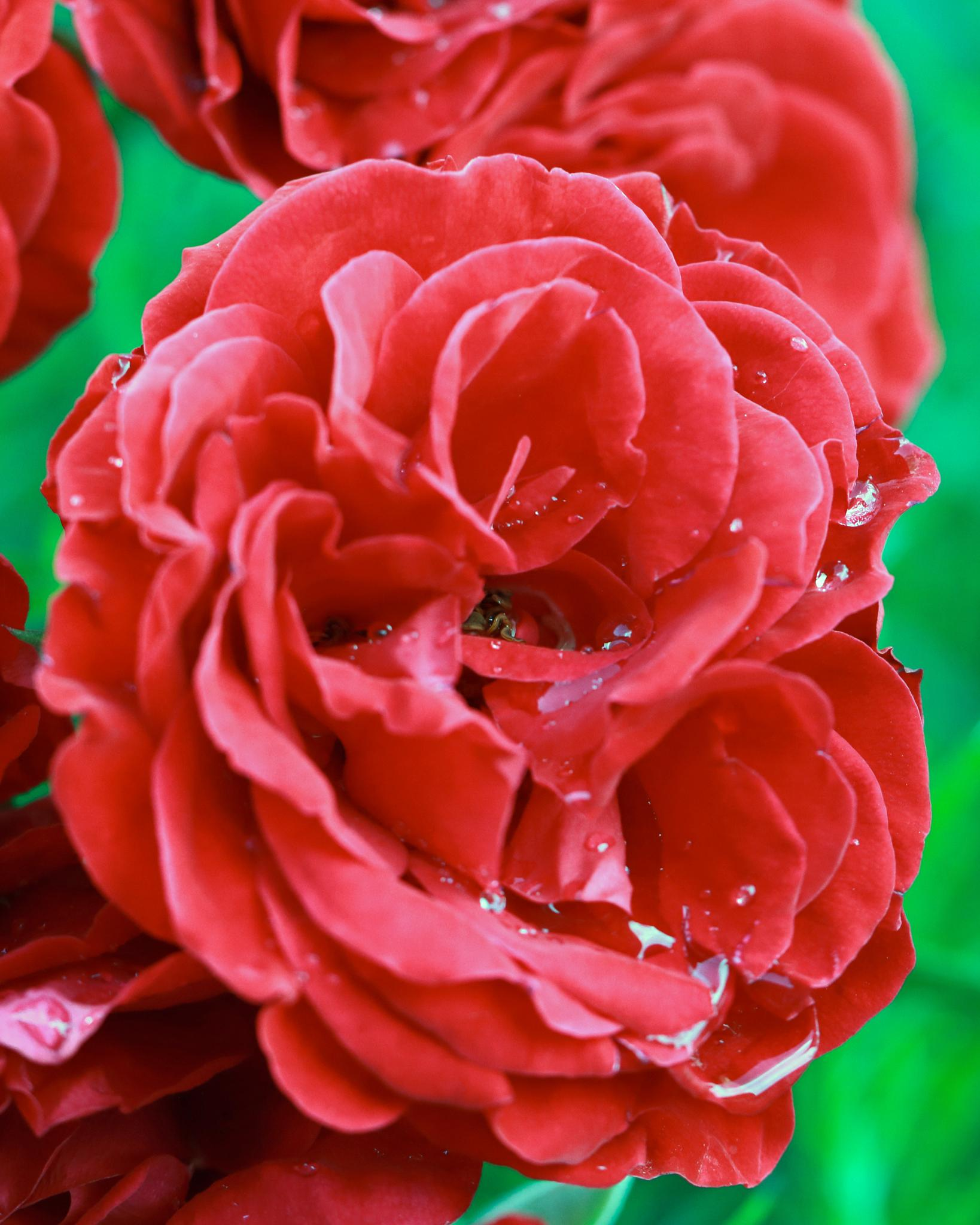 red rose after rainfall by Nicholas Rawsthorne