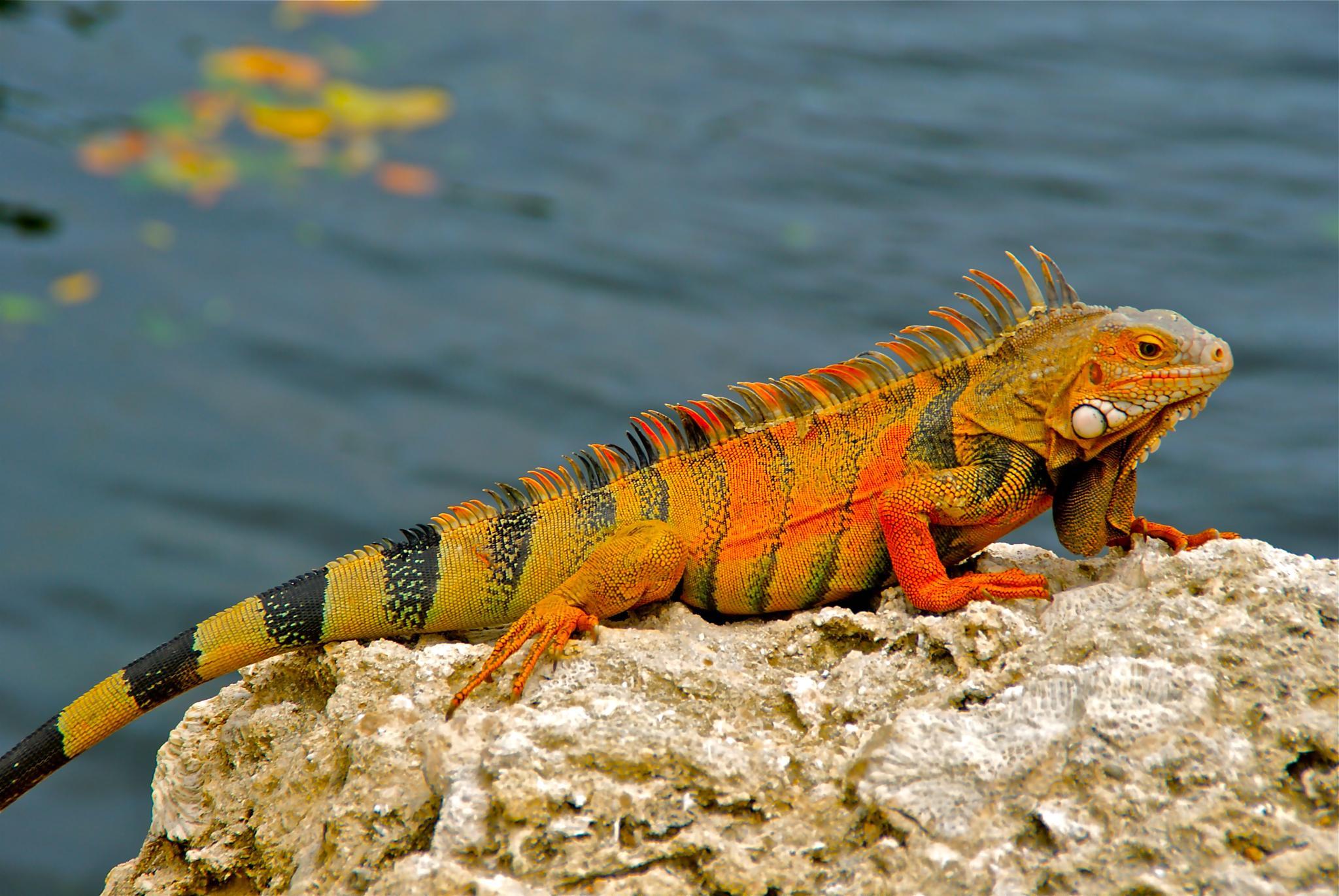Resting Lizard by Gibby911