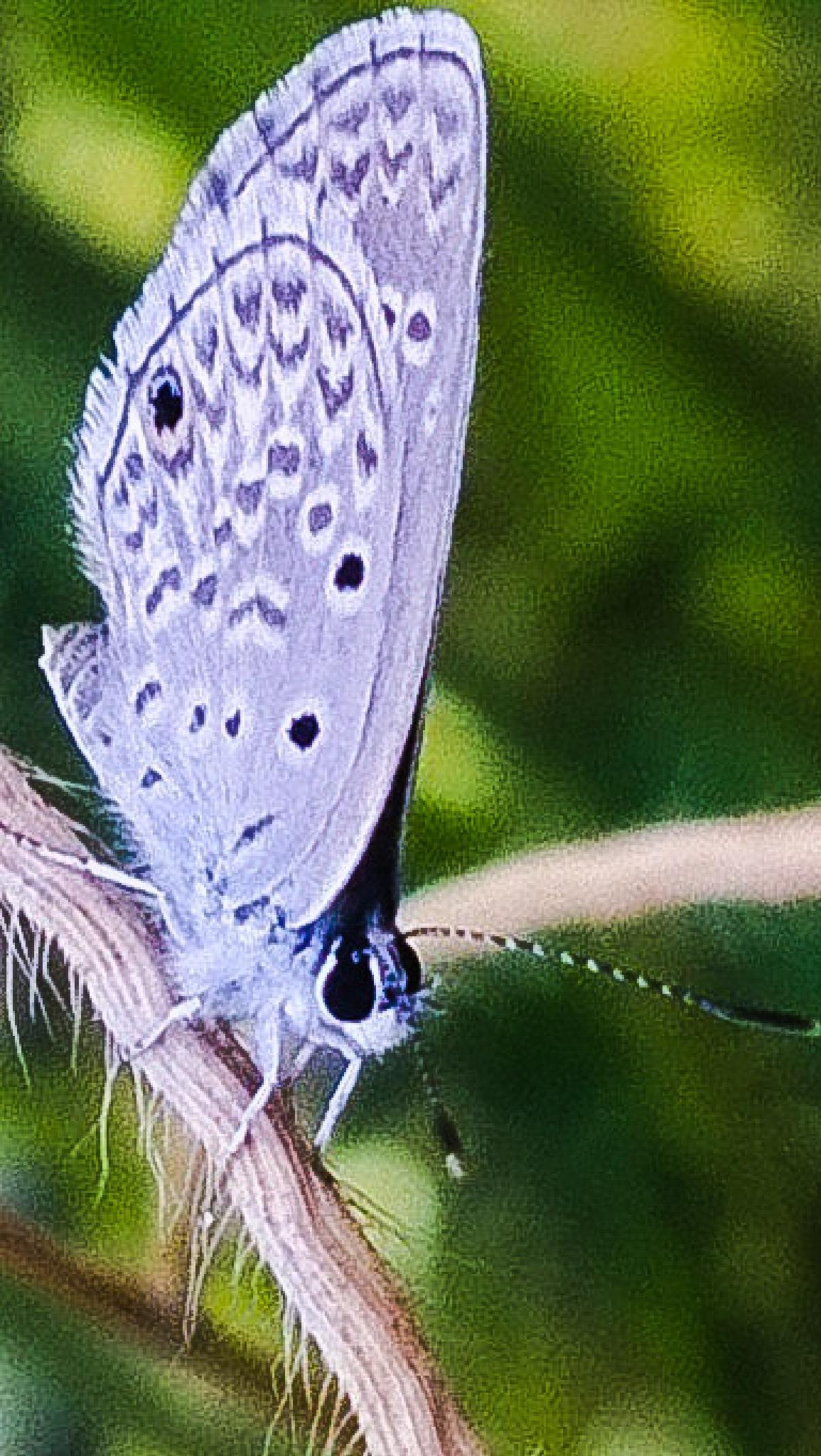 borboleta de chifre by xande.rachid