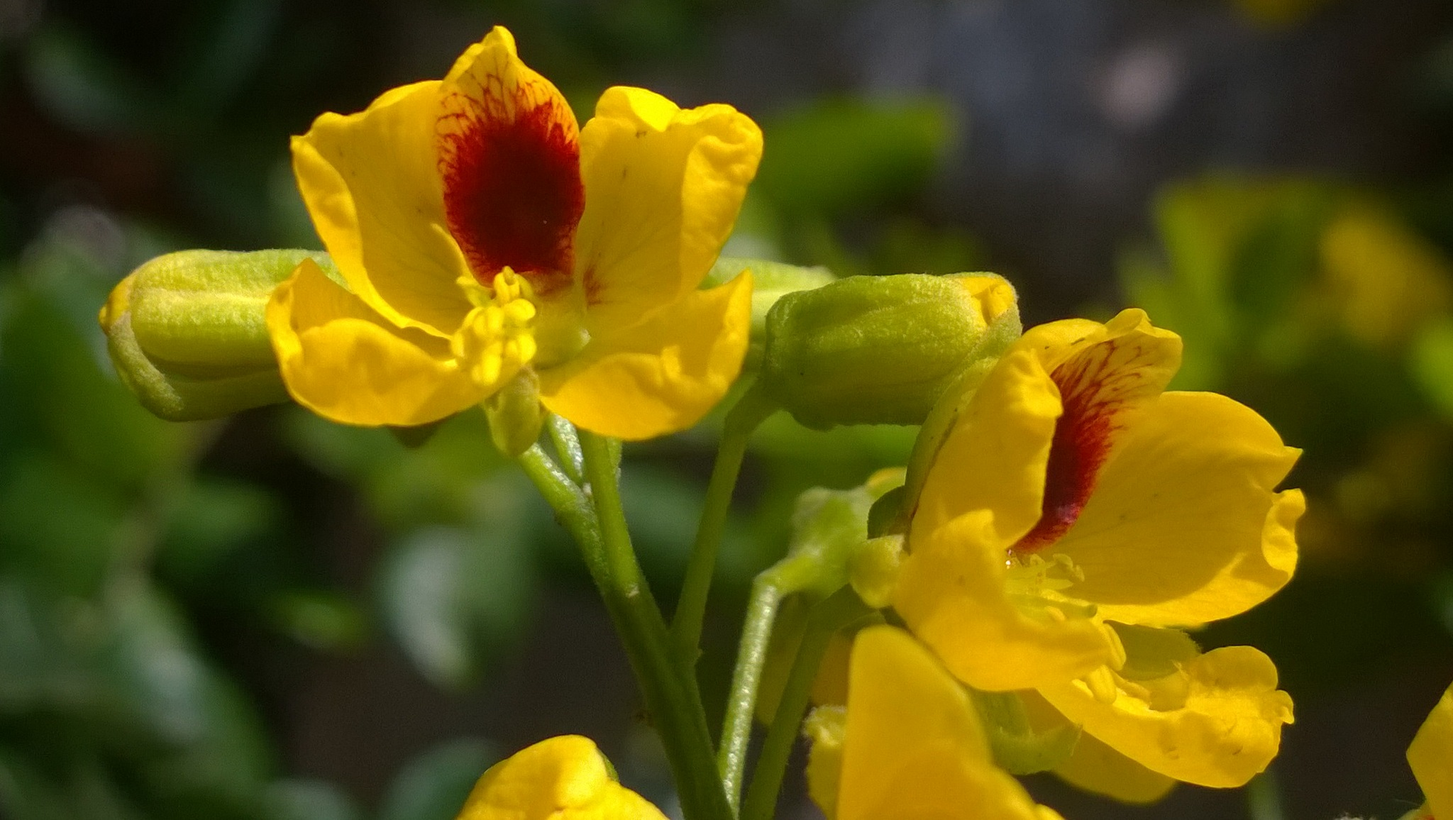Pau Brasil em flor. Pau Brazil in bloom. by xande.rachid