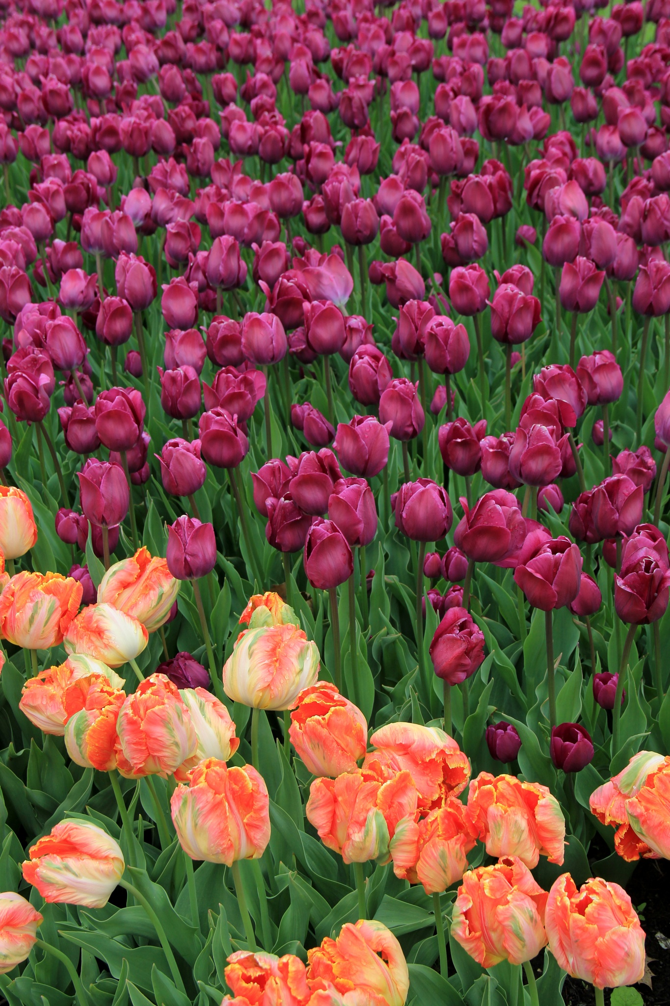 Photo in Nature #tulips #flowers #landscape #gardening #nature