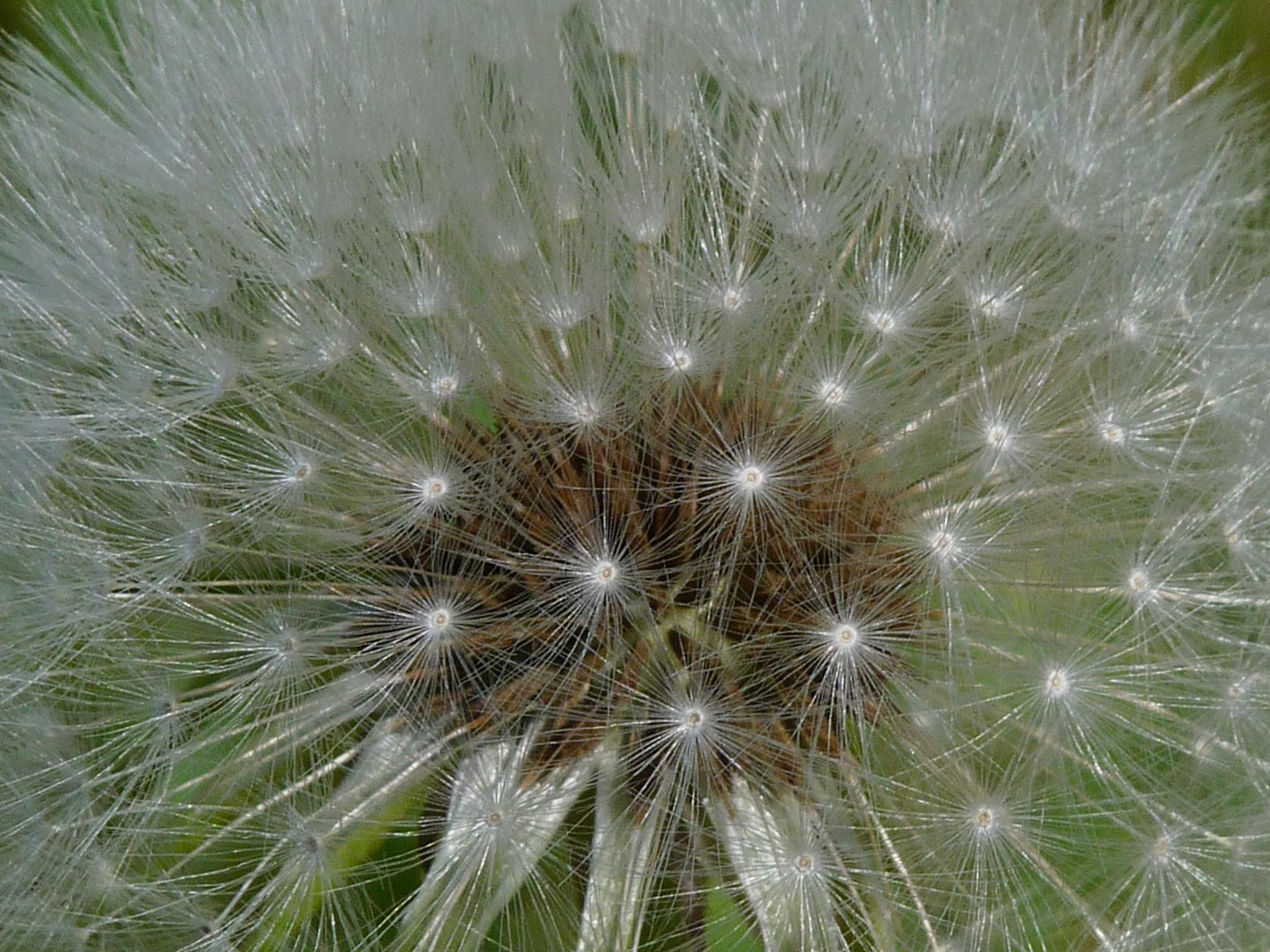 dandelion seeds by theodore.deprey