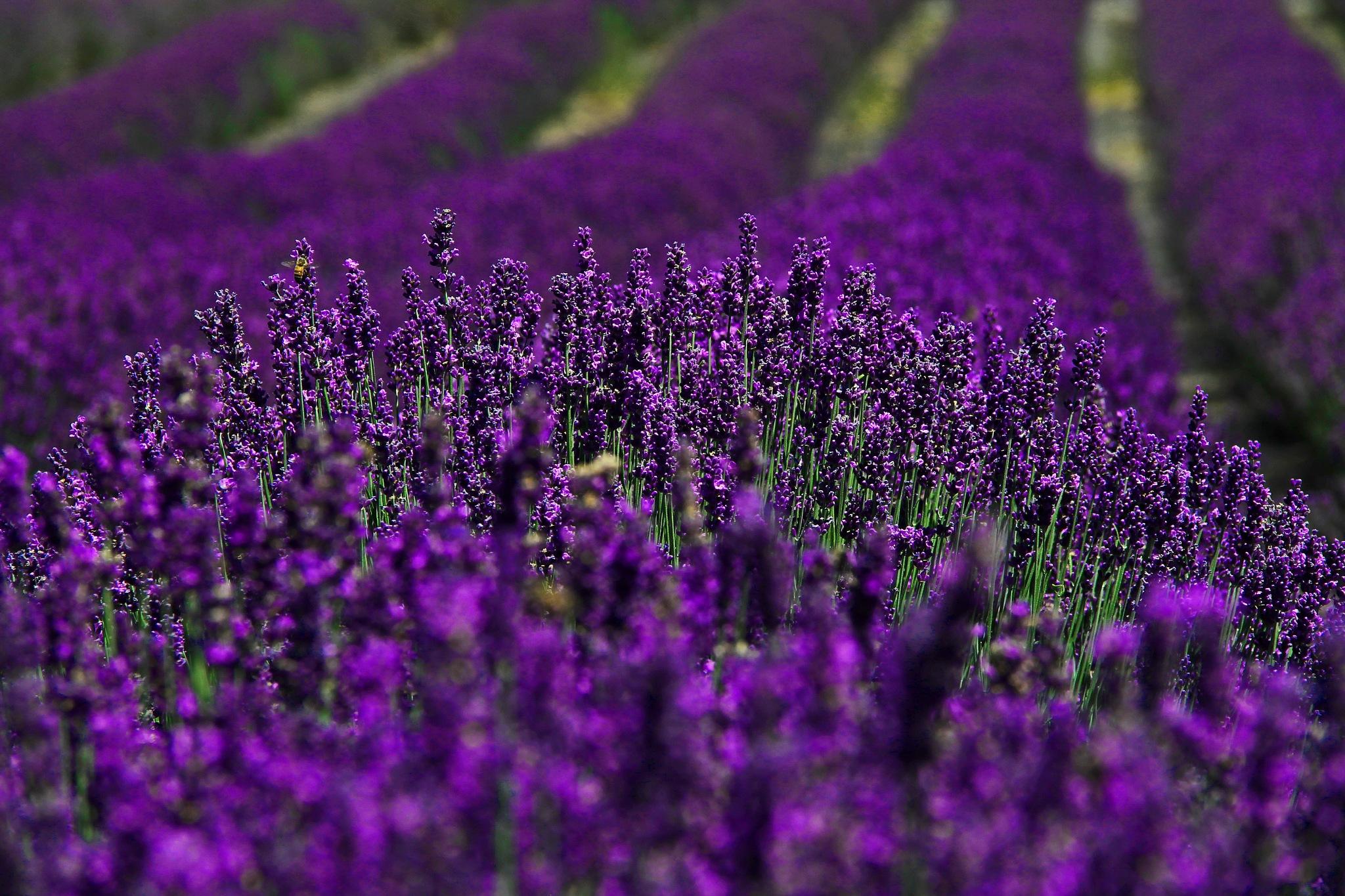Lavender Farm 1 by christena.anderson